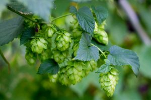 A branch of a hops plant with a bundle of blooming flowers (hops).