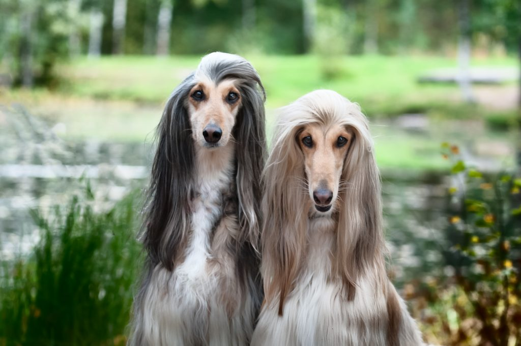 Close up of two Afghan hounds in front of a lake