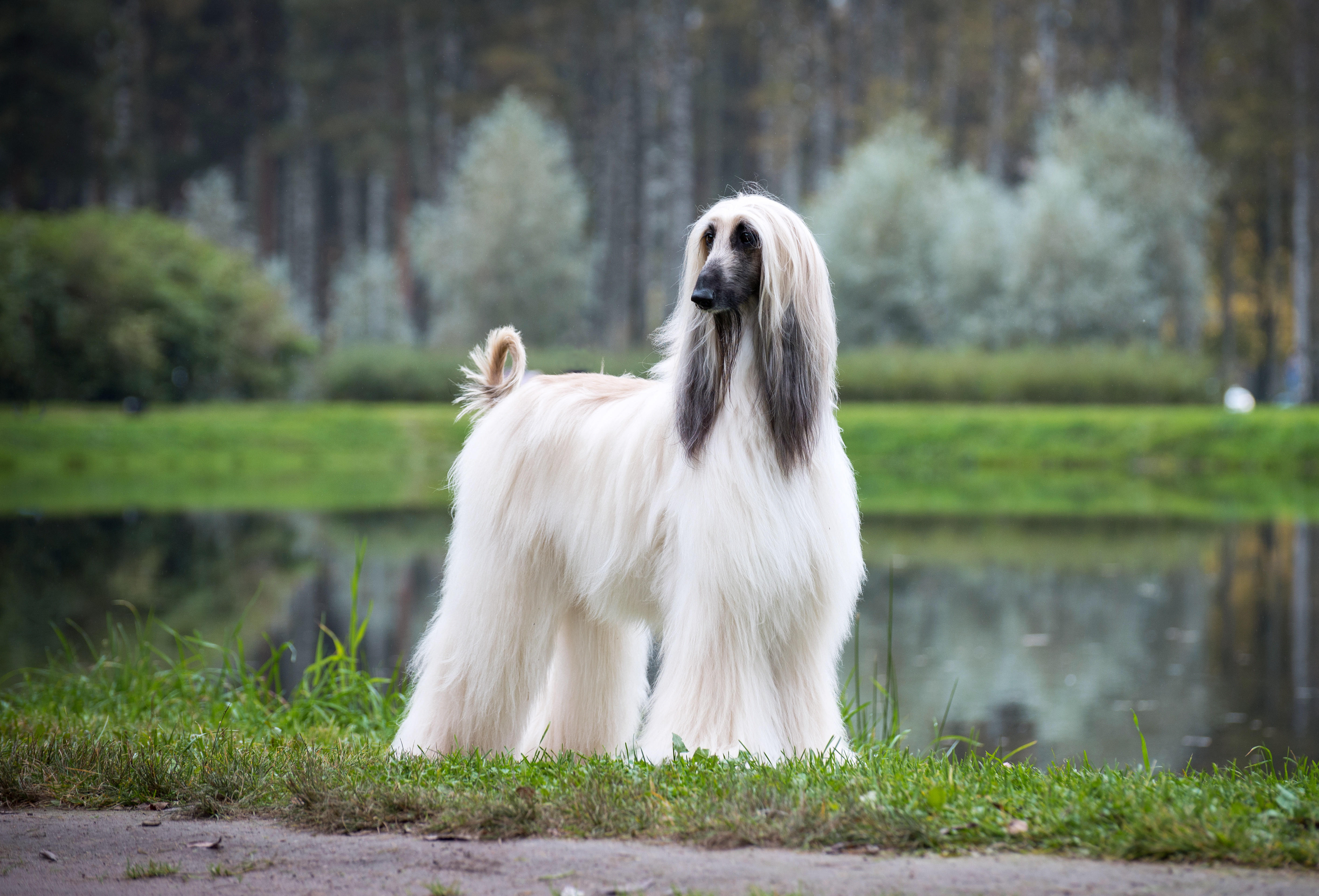 White Afghan Hound standing in front of pond