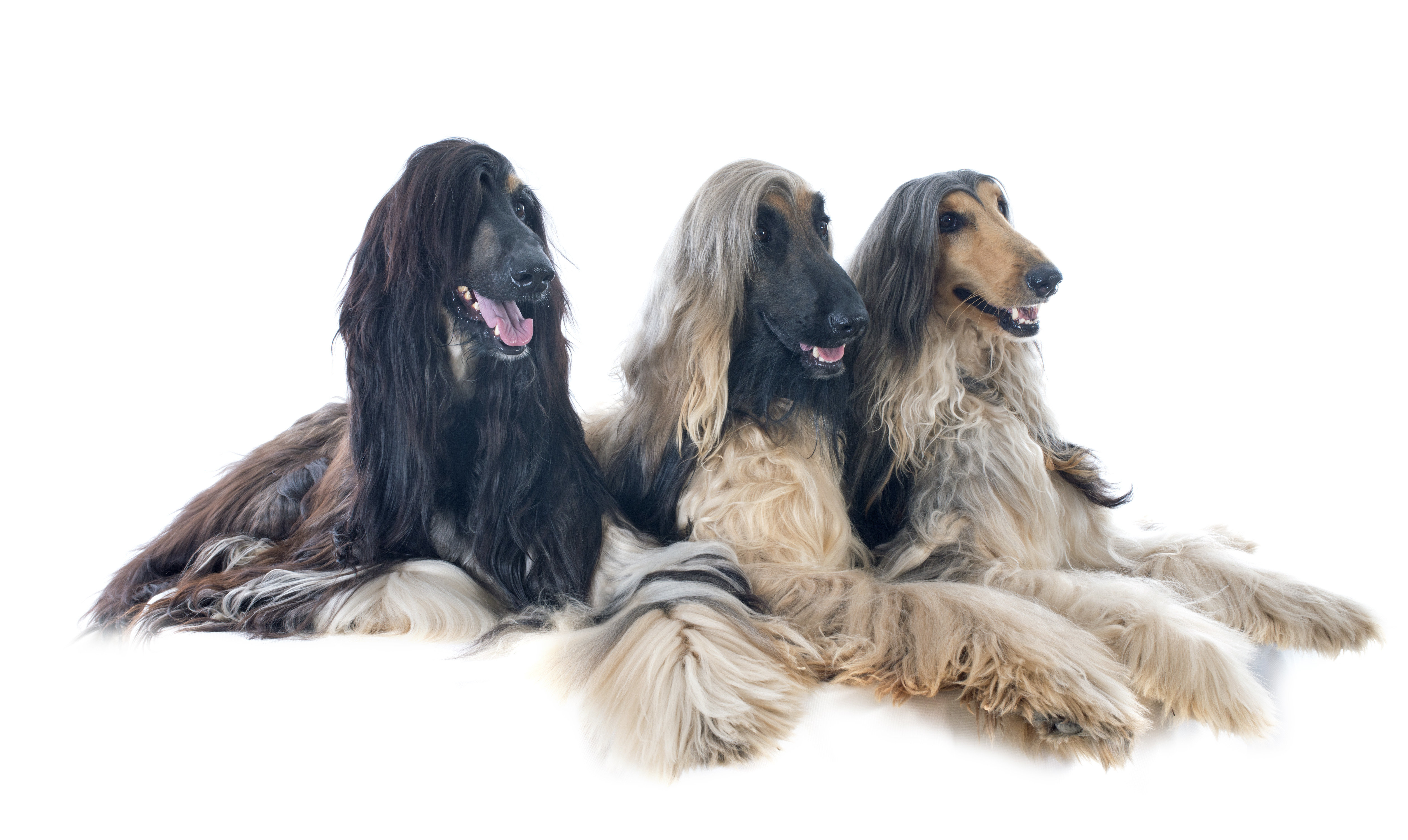 Three Afghan Hounds lying down in front of white background