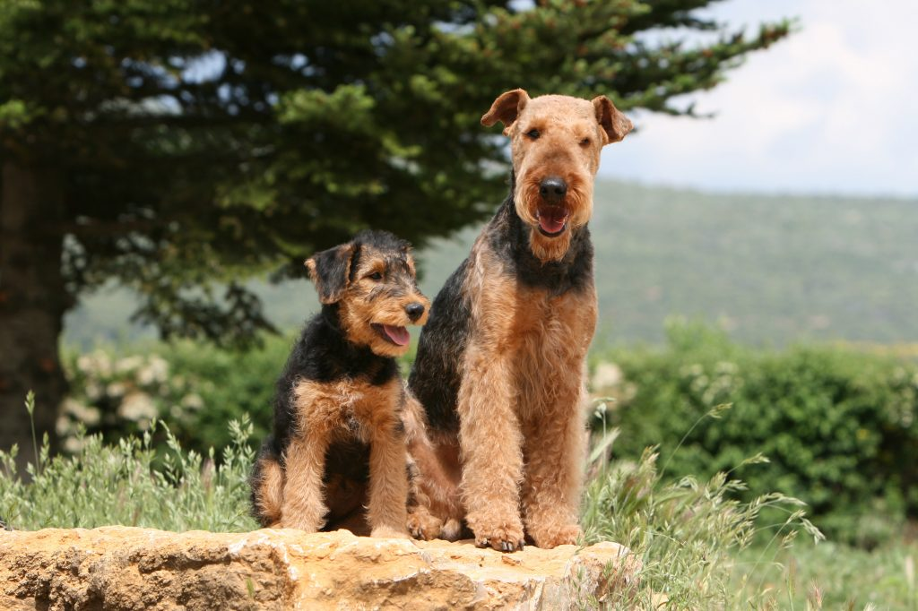 An adult and puppy Airedale Terrier sitting on rock ledge on the side of a mountain