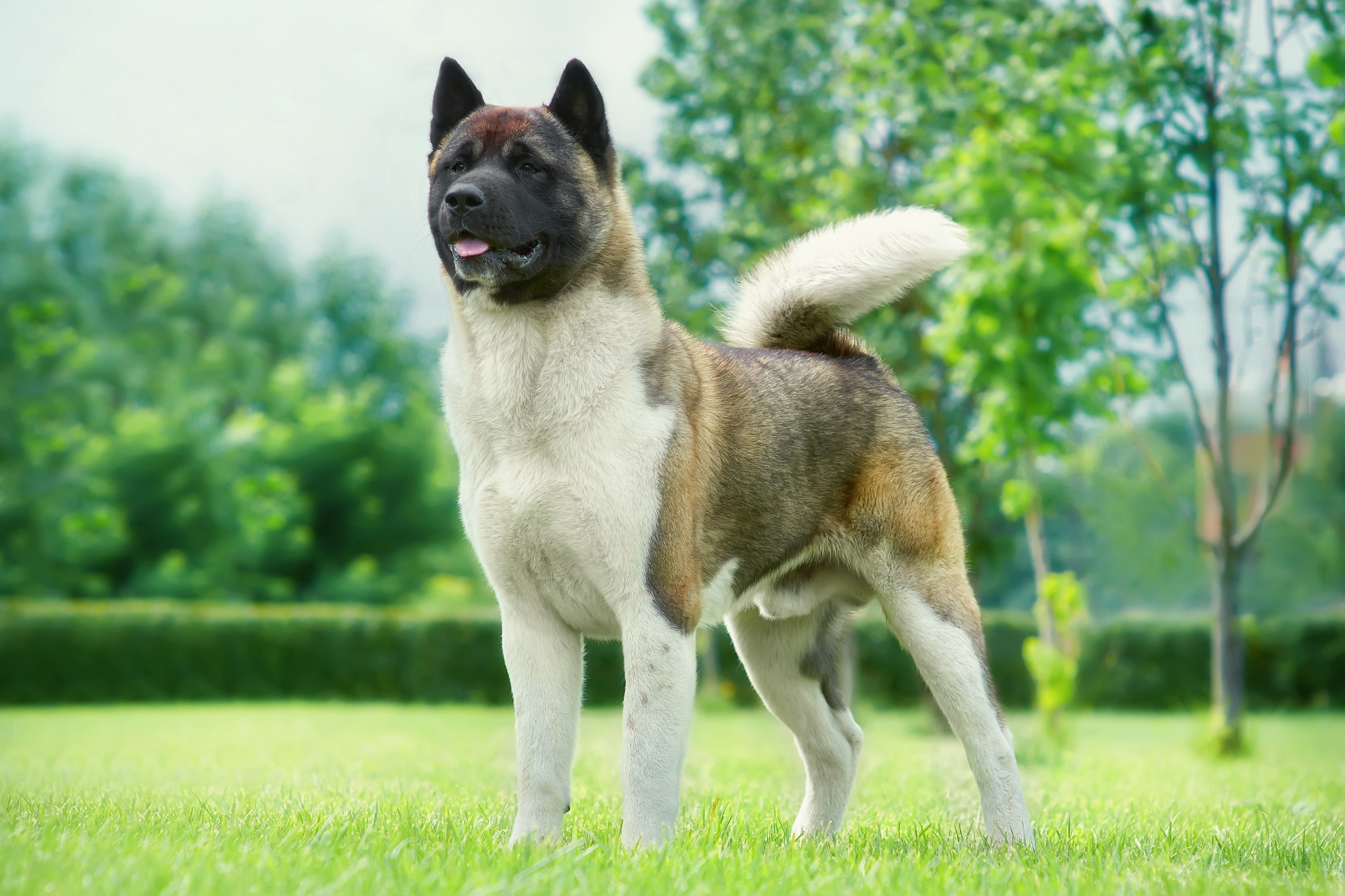 Akita dog standing in a grassy yard with trees in the background