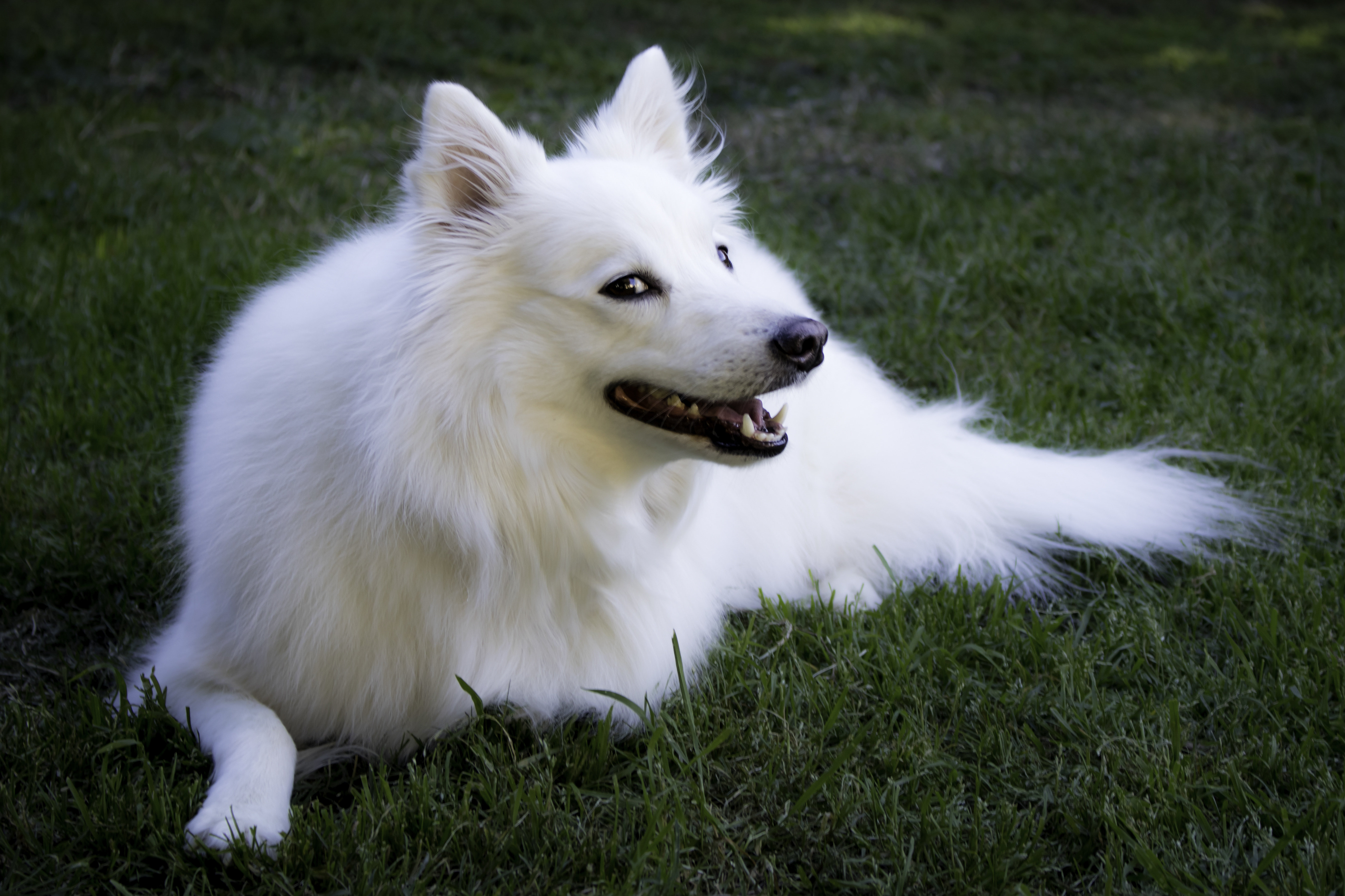 American Eskimo dog smiling and lying down in grass