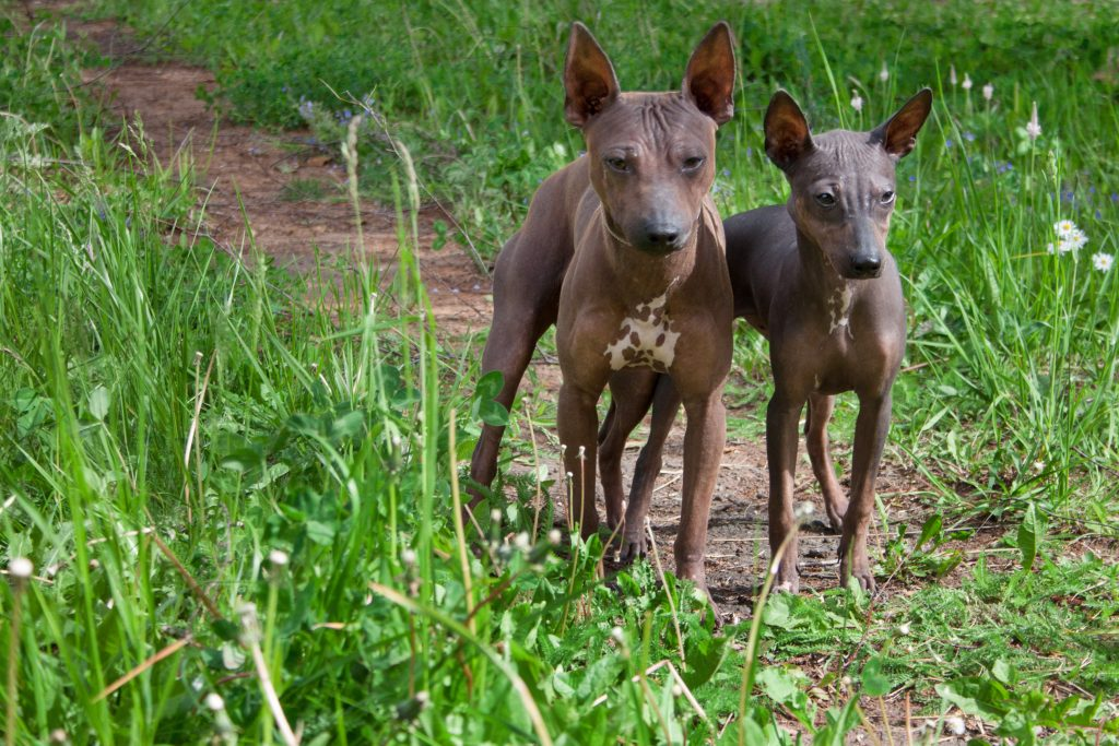 Two American Hairless Terriers standing on dirt path in field of grass