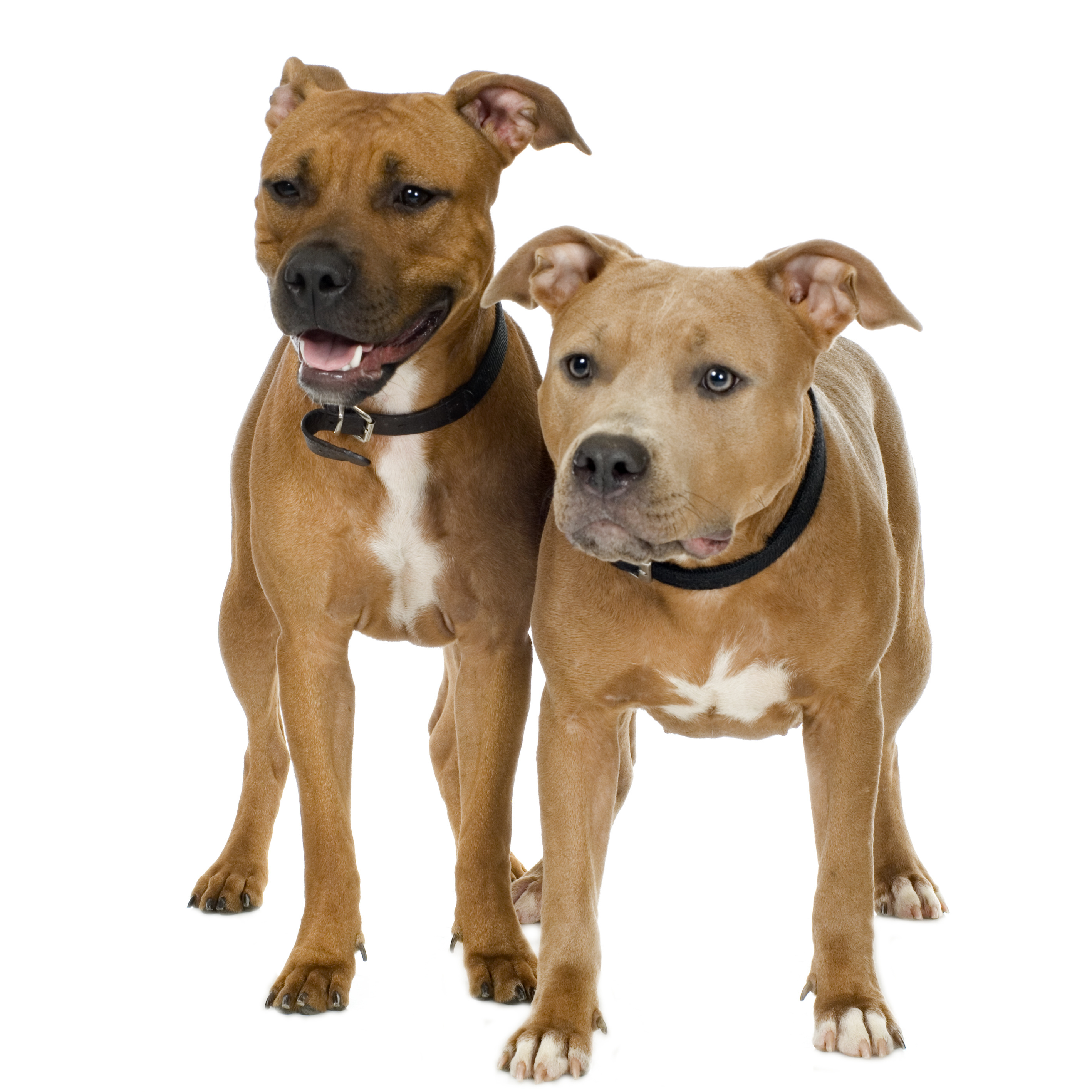 Two American Staffordshire Terriers standing in front of a white background