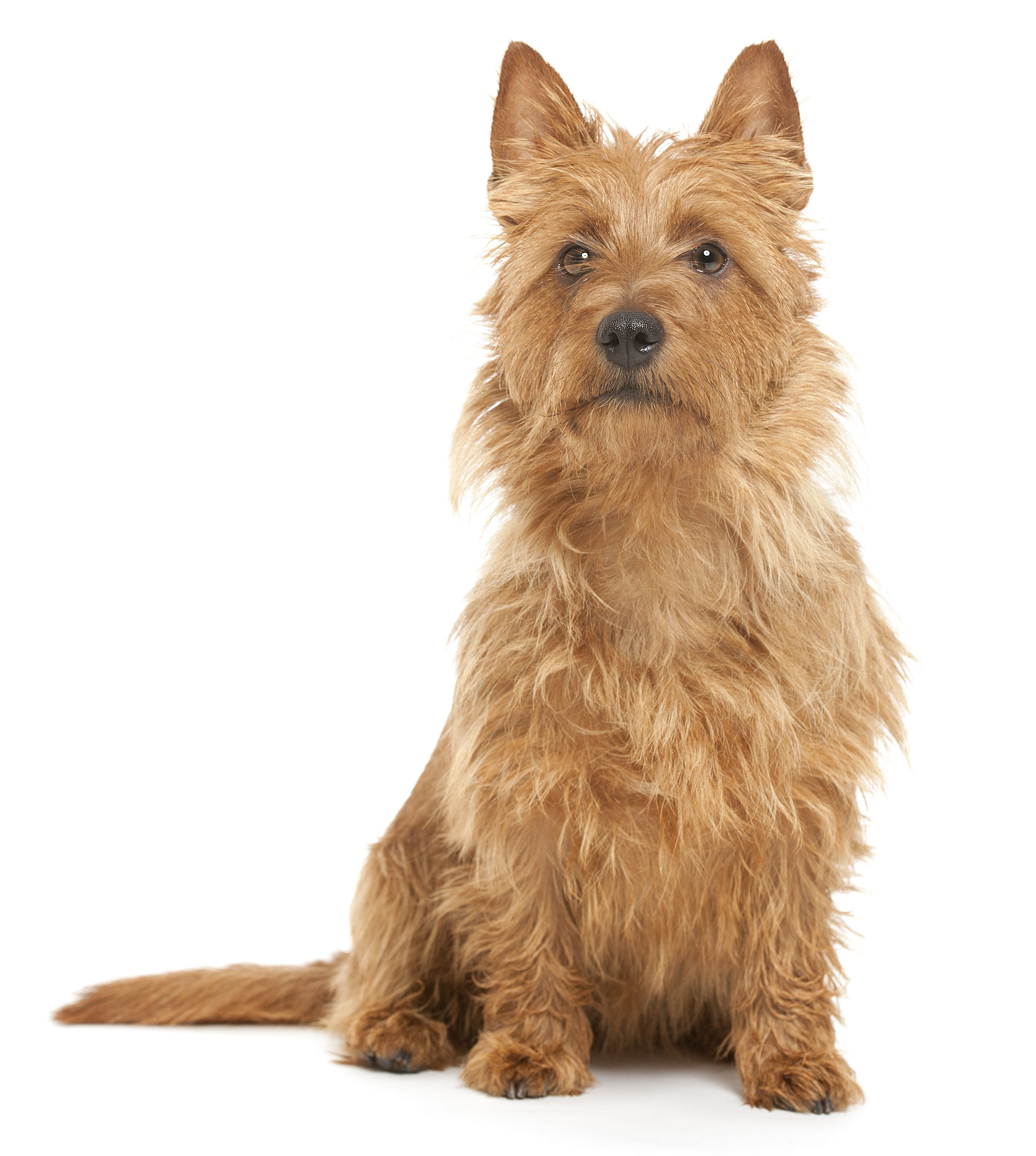 Australian Terrier sitting in front of a white background