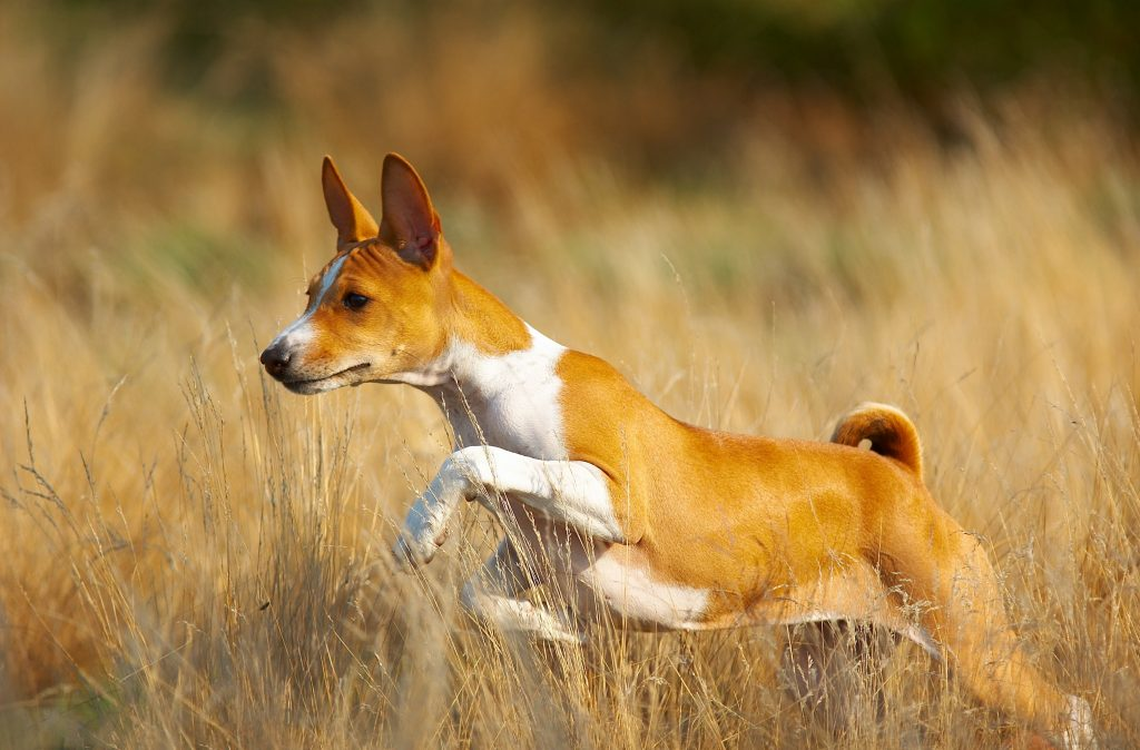 Basenji dog leaping through a field of tall grass.