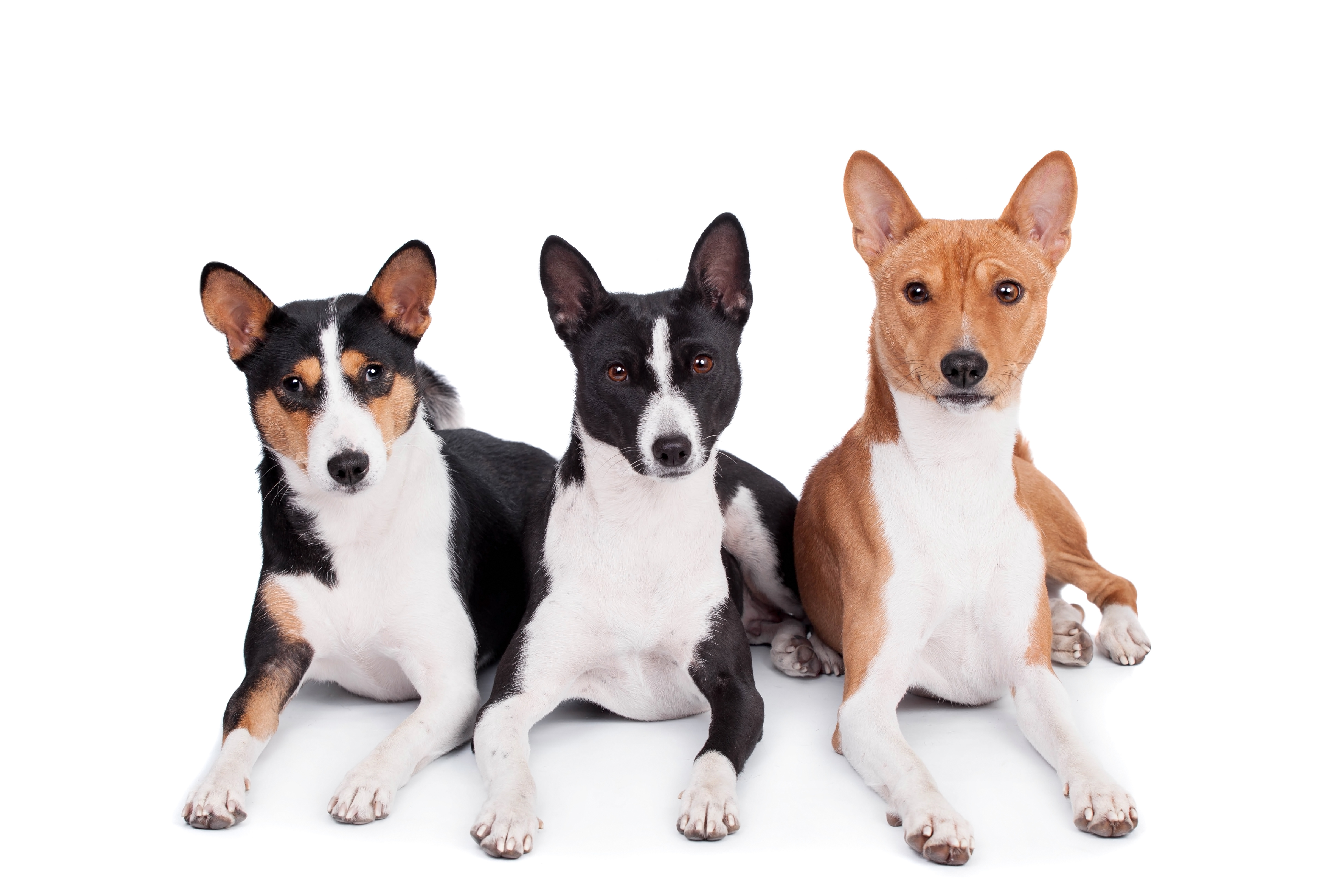 Three basenjis (tricolor, black and red color coats) lying down in front of white background