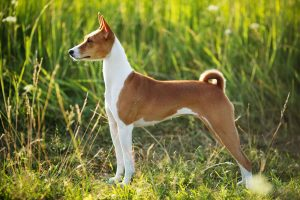 Side view of Basenji dog standing in field with tall grass in background