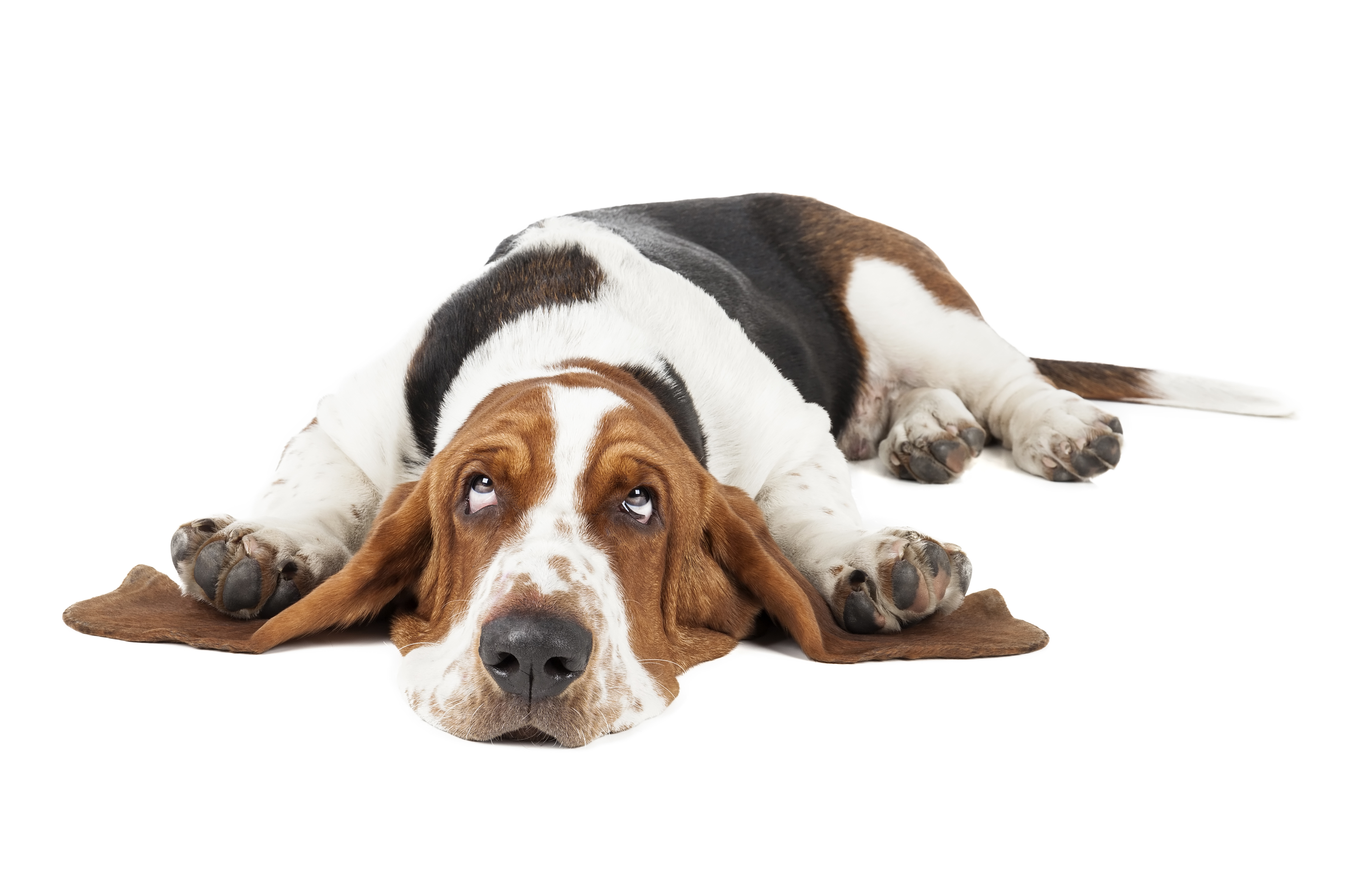 Basset Hound lying down in front of white background