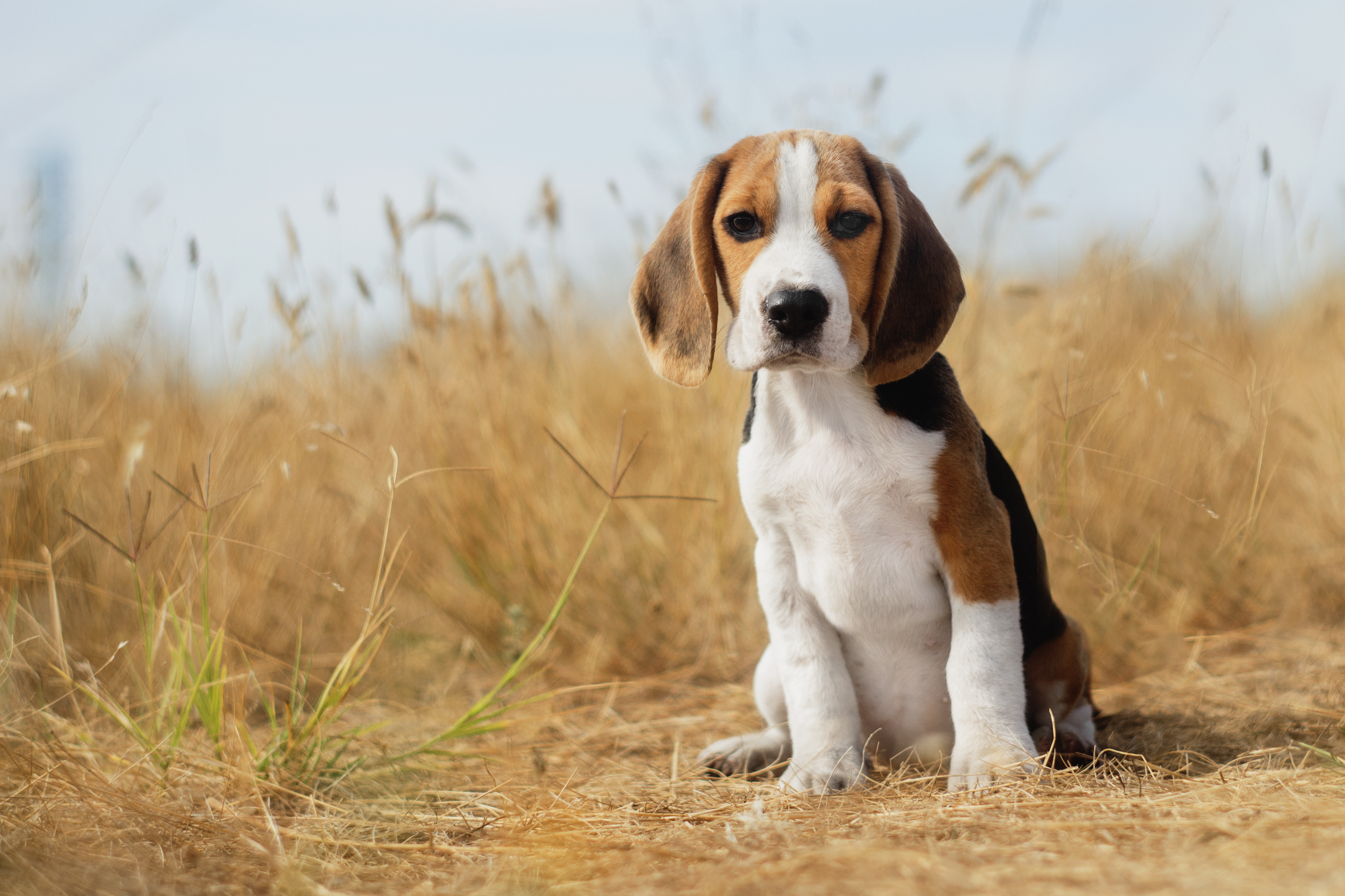 Beagle puppy sitting in field of tall grass.