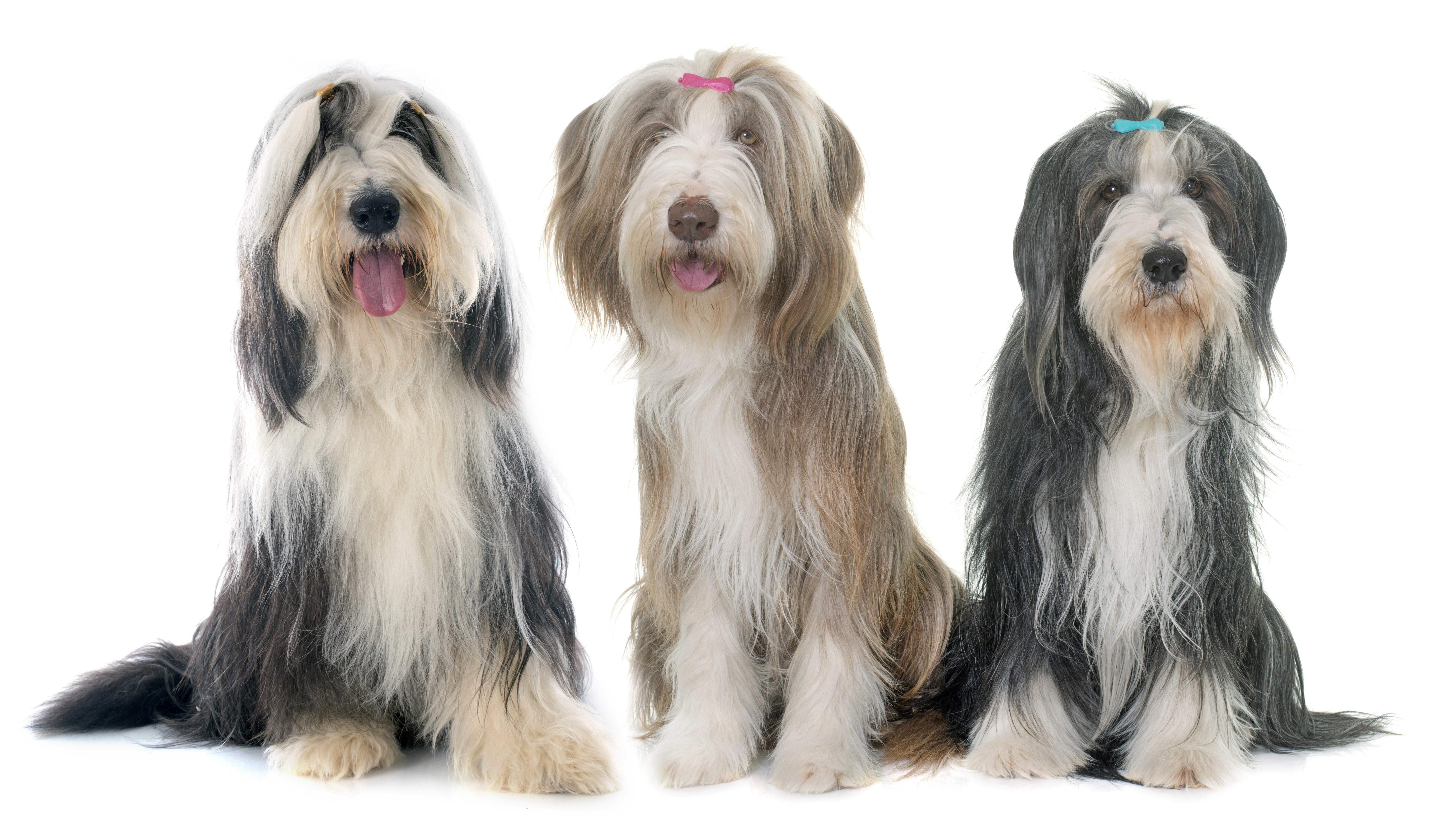 Three Bearded Collies sitting in front of a white background