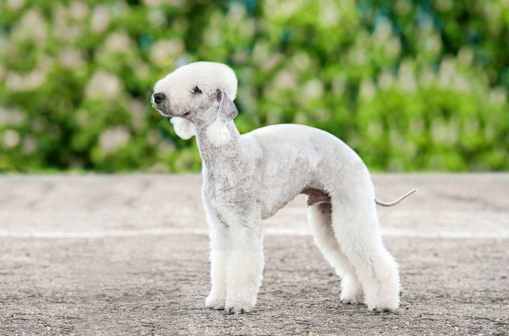 Bedlington Terrier standing staring to side in front of woods