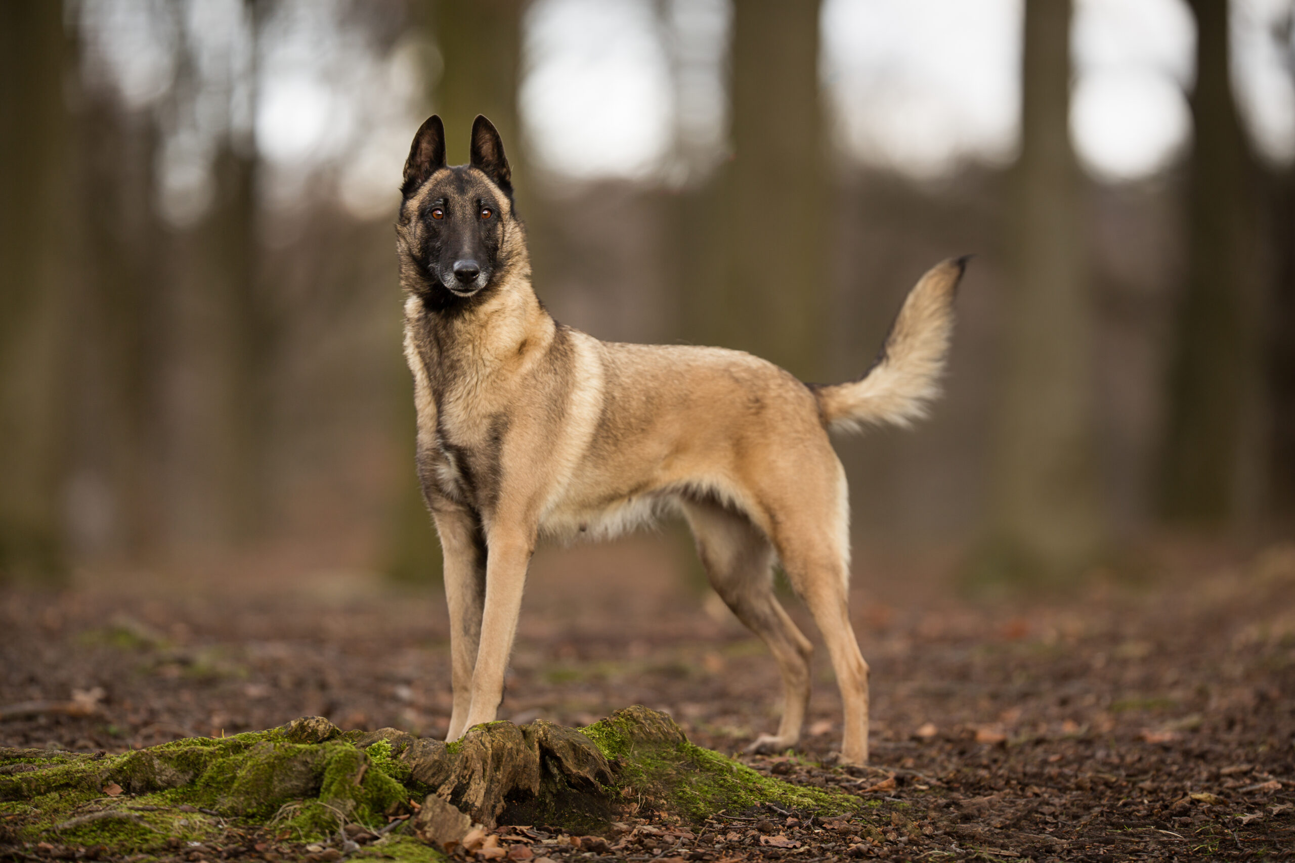 An adult Belgian malinois dog standing in the woods in the wintertime