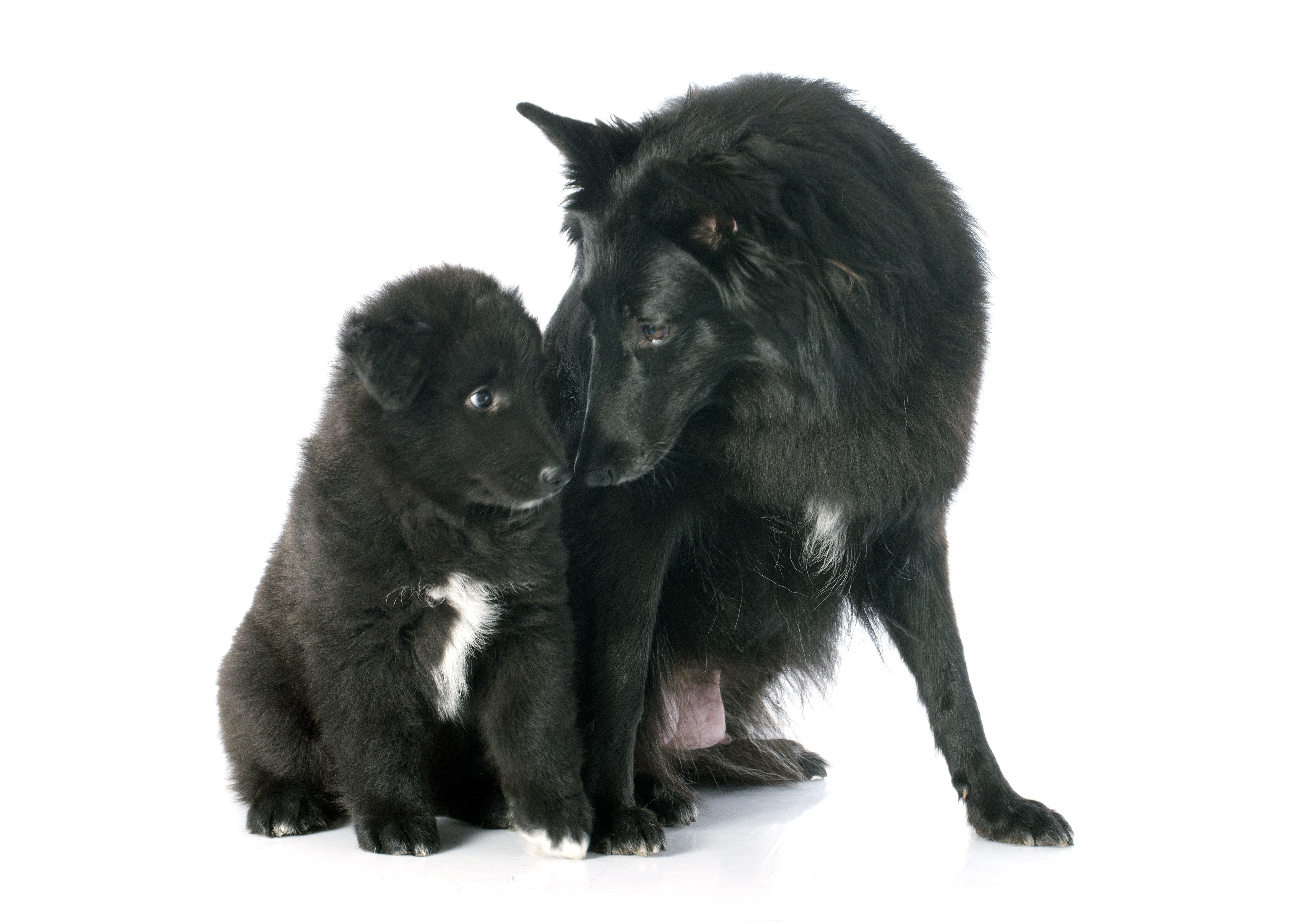 Belgian Sheepdog (Groenendael) adult and puppy sitting in front of a white background