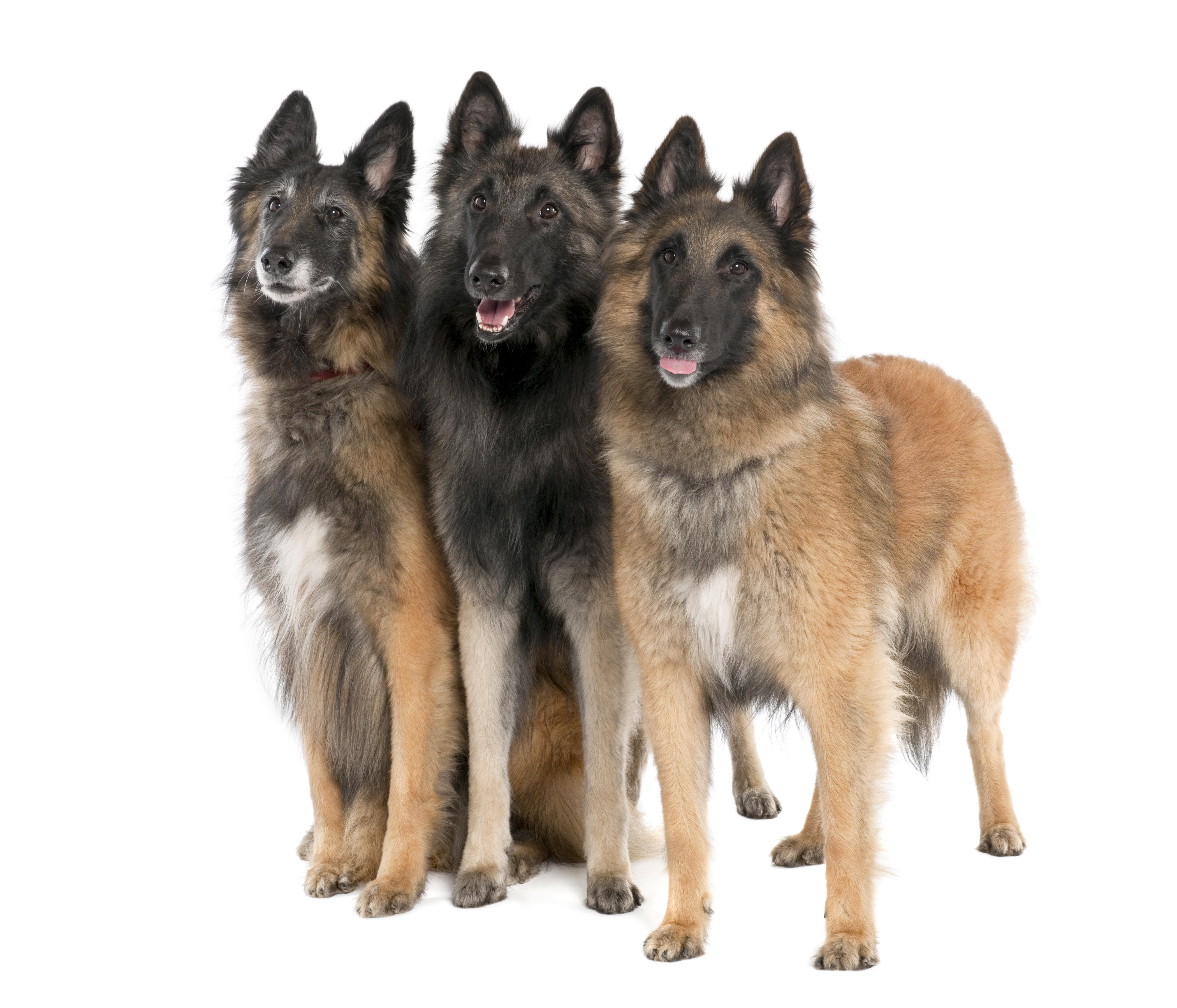 Belgian Tervuren ( 6, 3 and 2 years old) in front of a white background