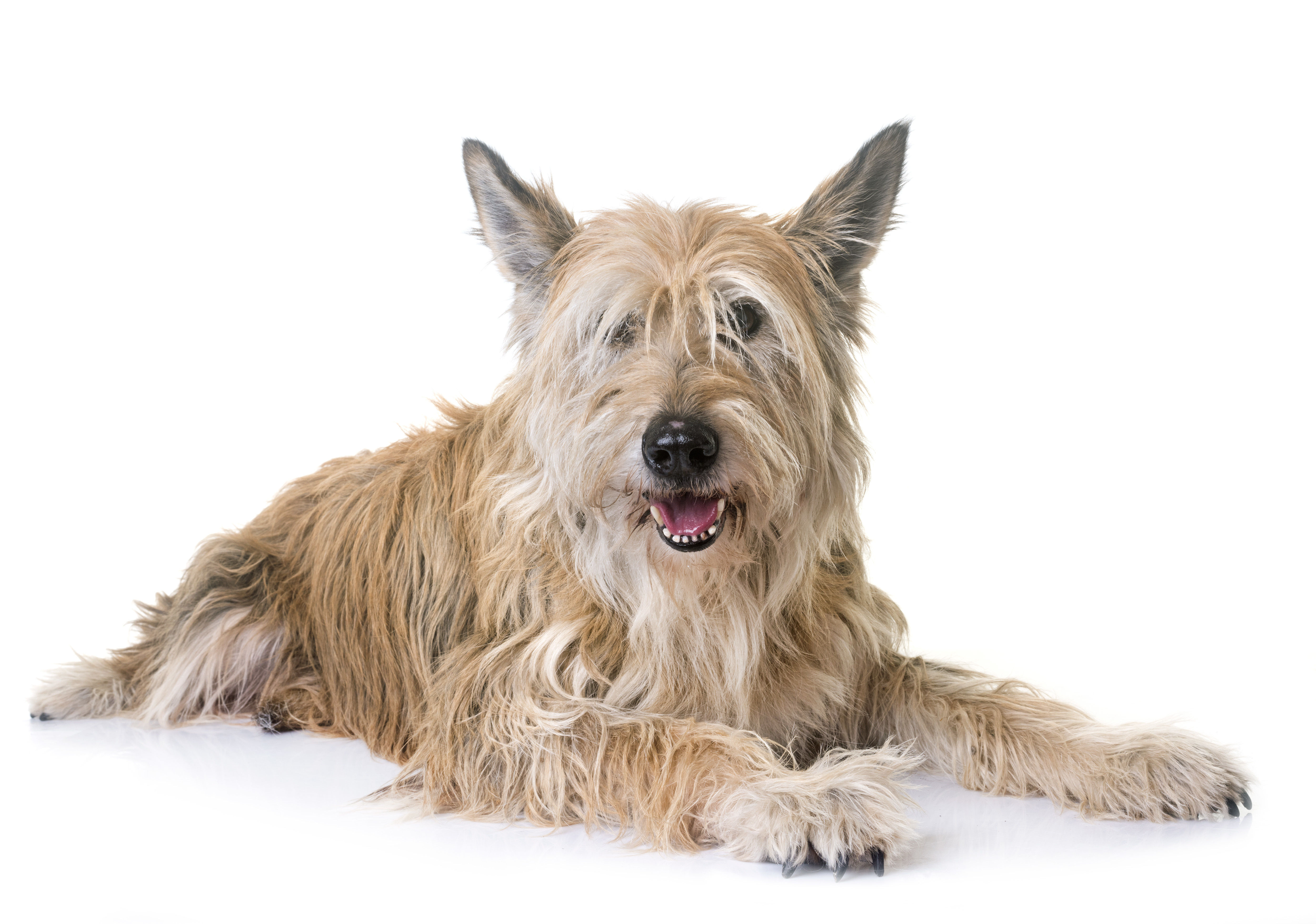 Berger Picard dog lying down in front of white background