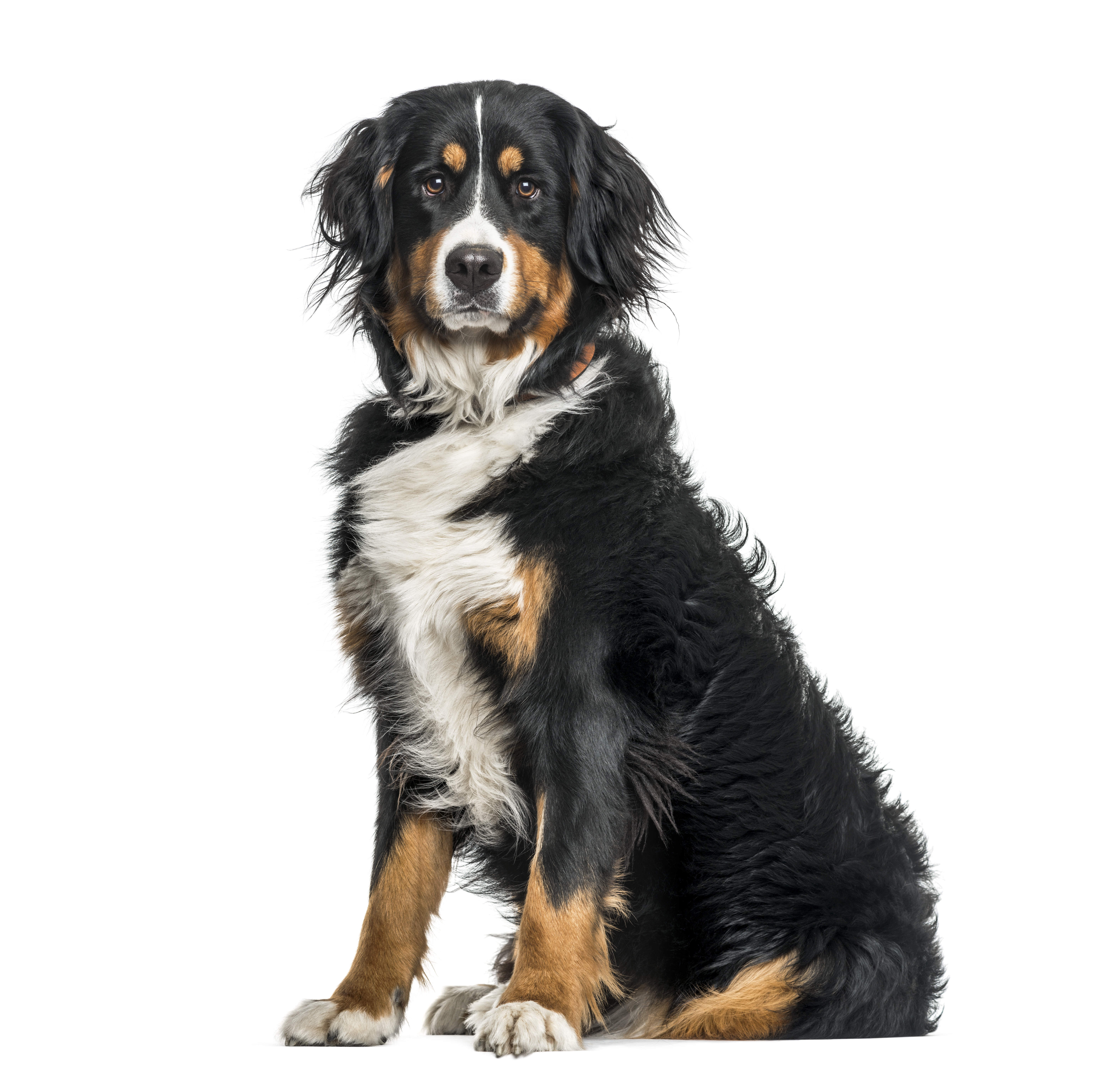 Bernese Mountain dog ditting in front of white background.