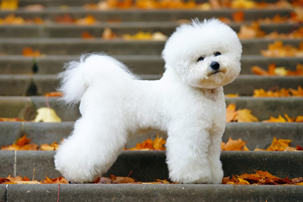 Side view of a Bichon Frise dog standing on stairs with fallen leaves.