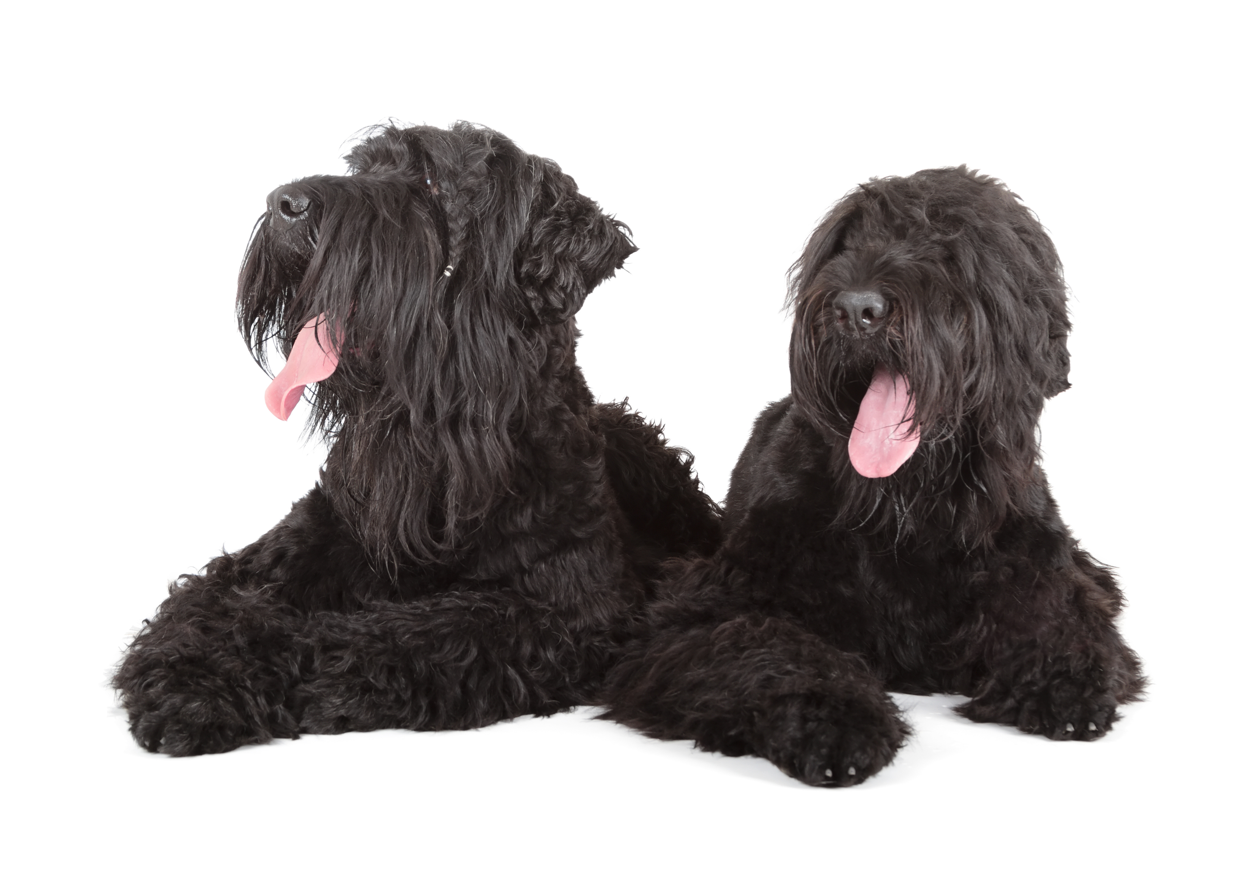 Two Black Russian Terriers lying on ground in front of white background