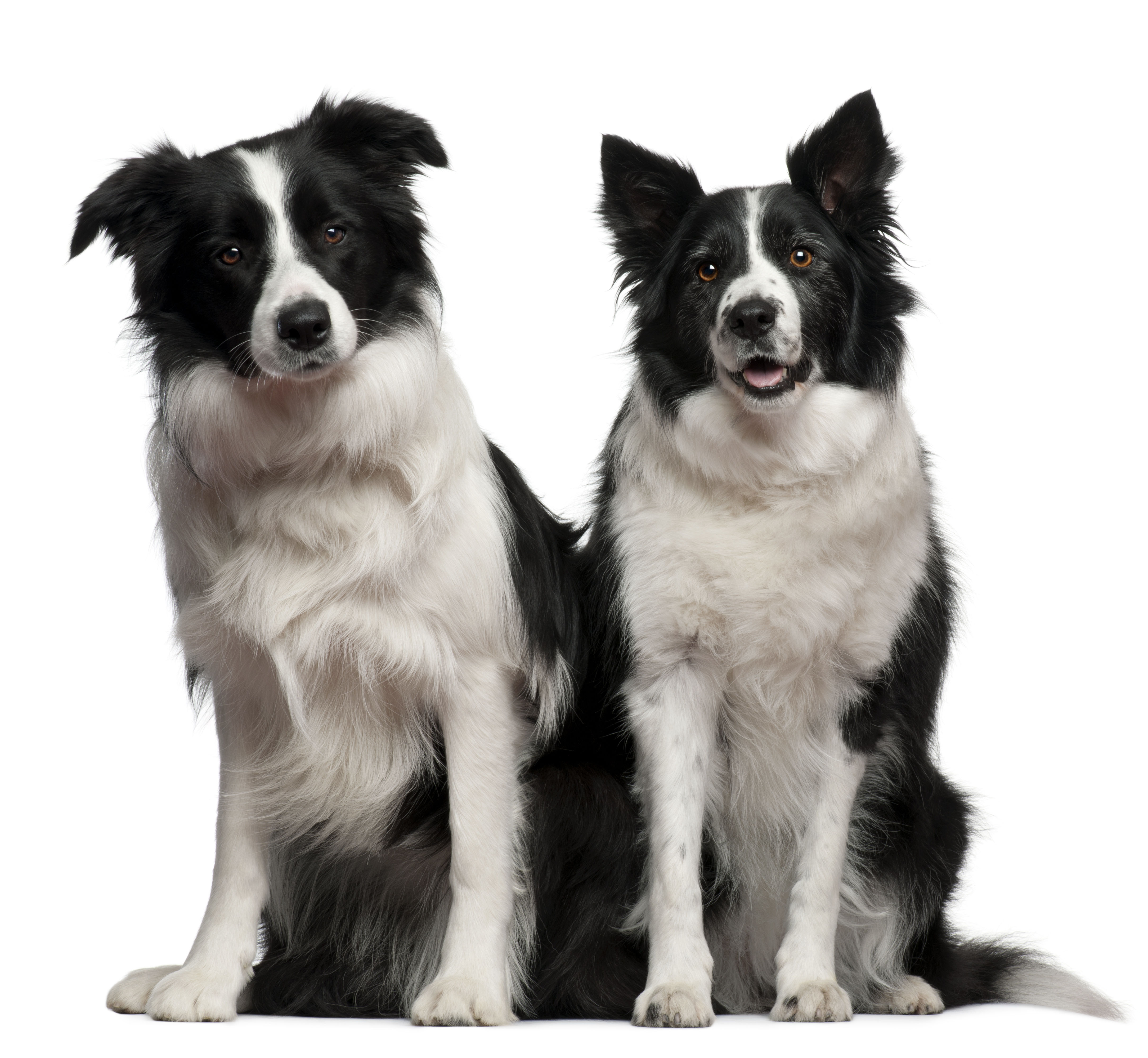 Two Border Collies sitting in front of white background