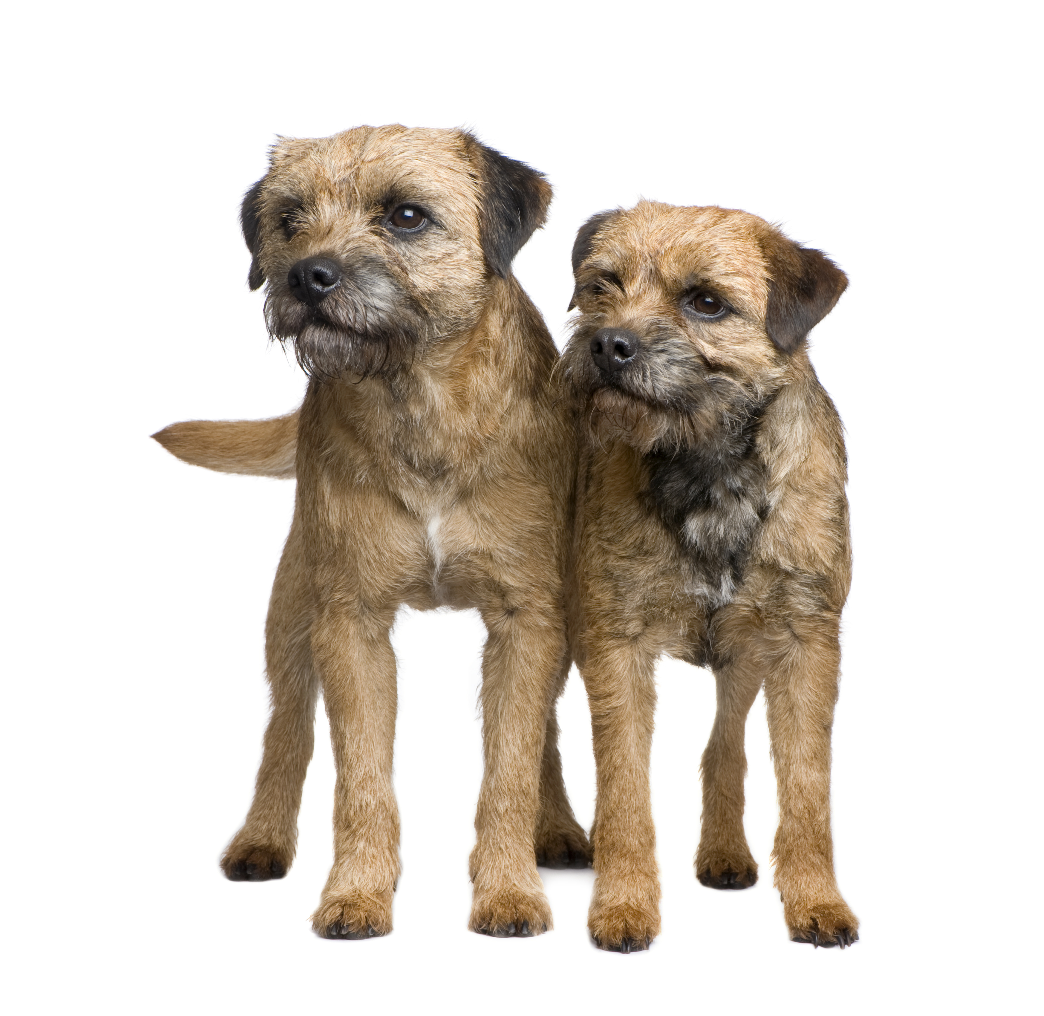 Two Border Terriers standing in front of a white background