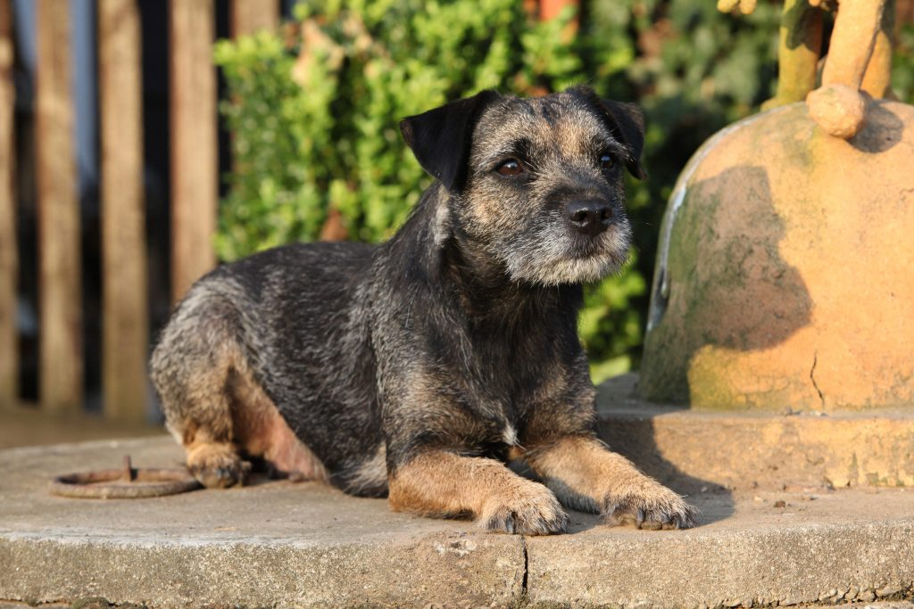 Border Terrier lying down on stone bench in a garden