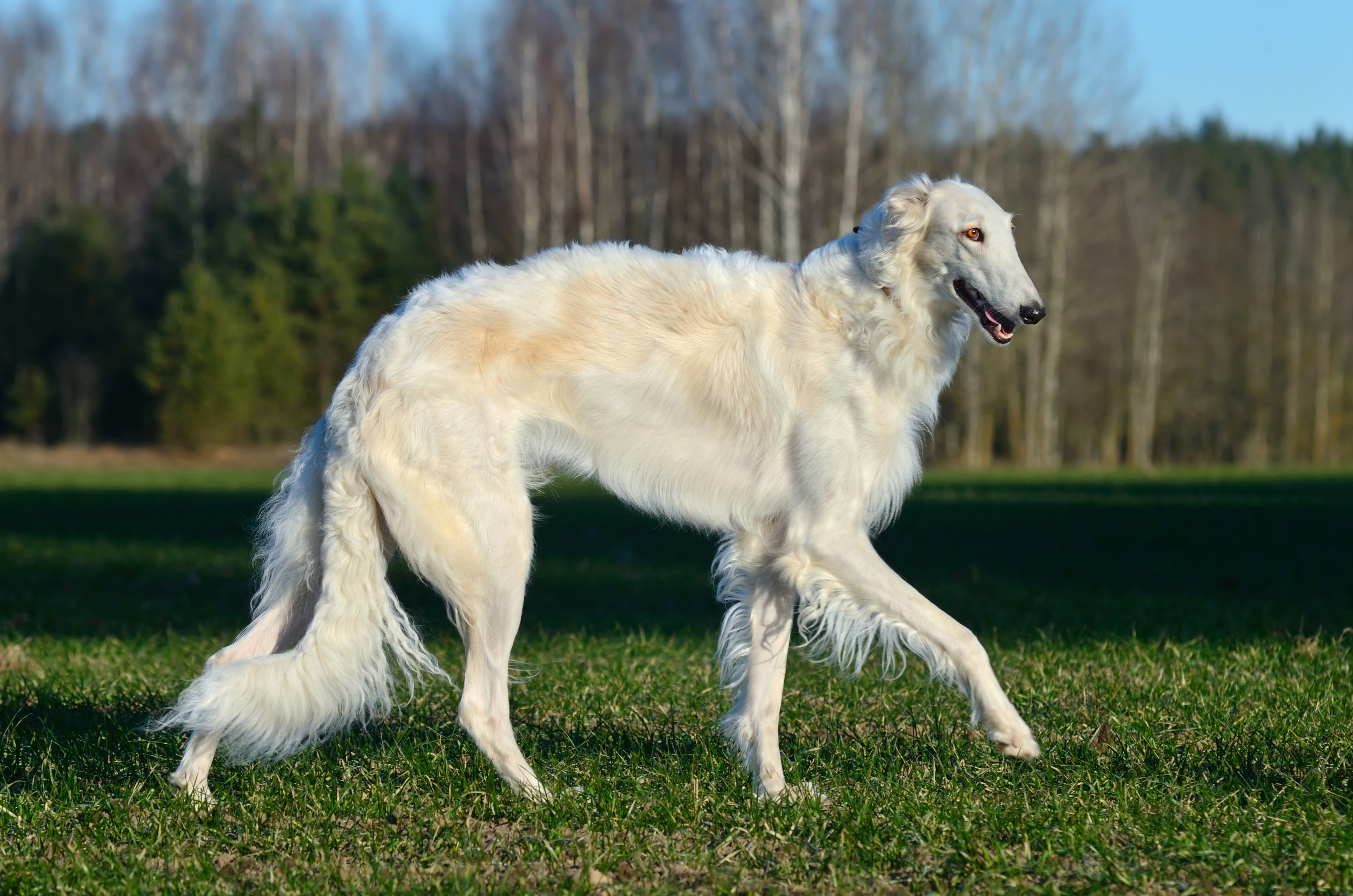 What's your Mutt DNA White Borzoi dog walking through a grassy yard with wooden fence in the background