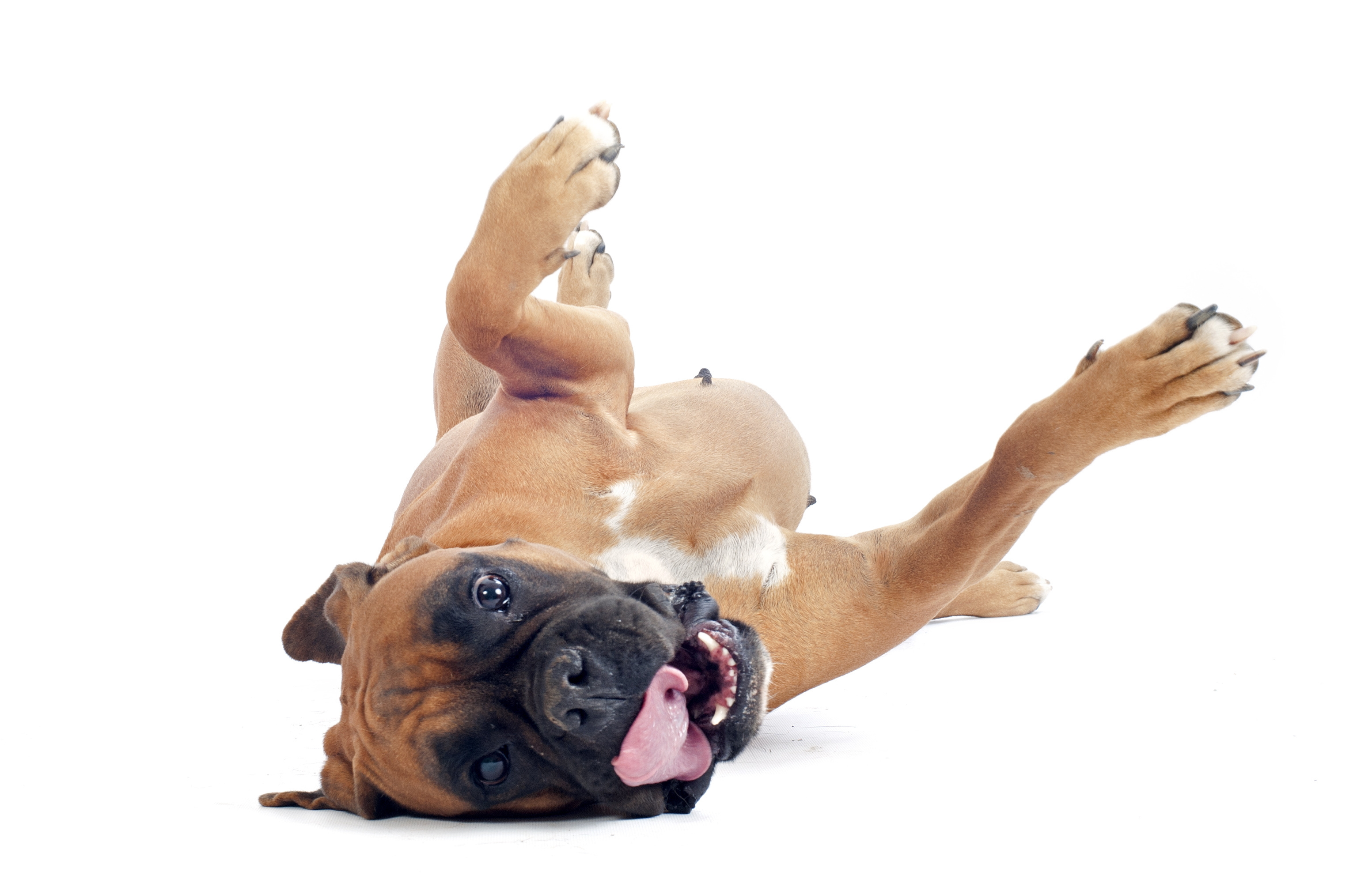 Boxer dog rolling over on back in front of a white background