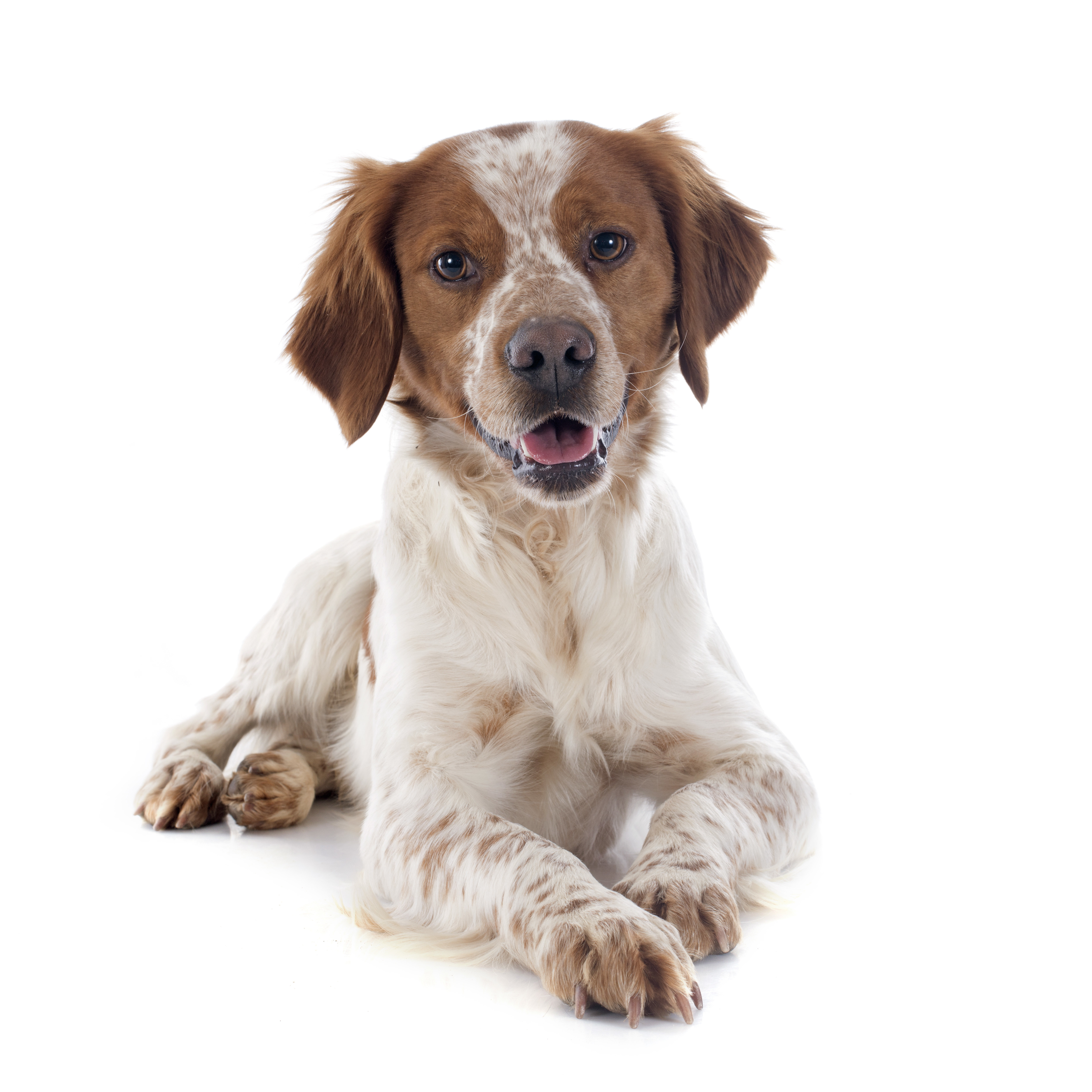 Brittany dog lying down in front of a white background