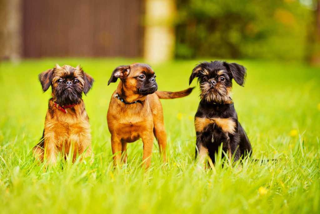 Three Brussels Griffon dogs sitting in grass