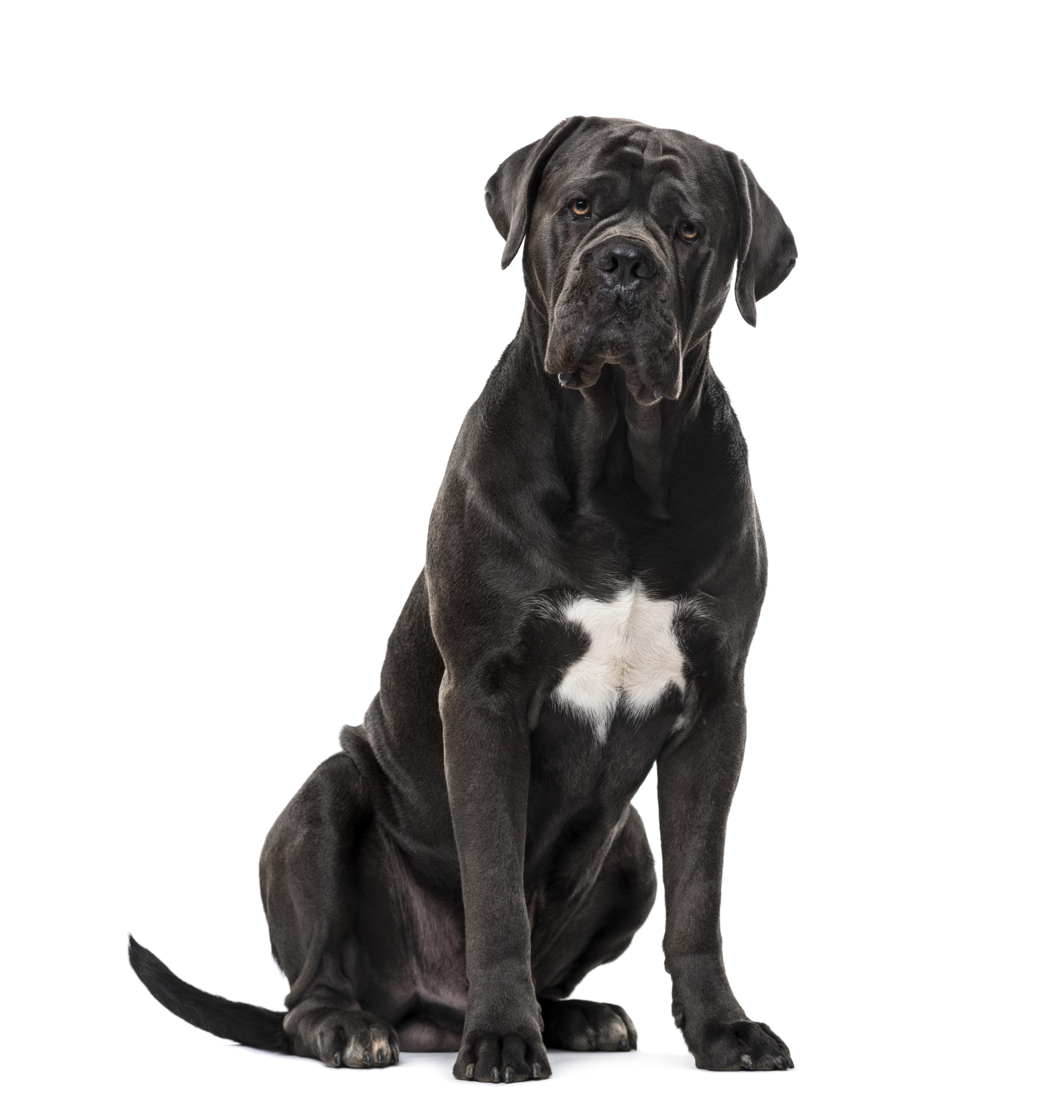 Cane Corso dog sitting in front of white background