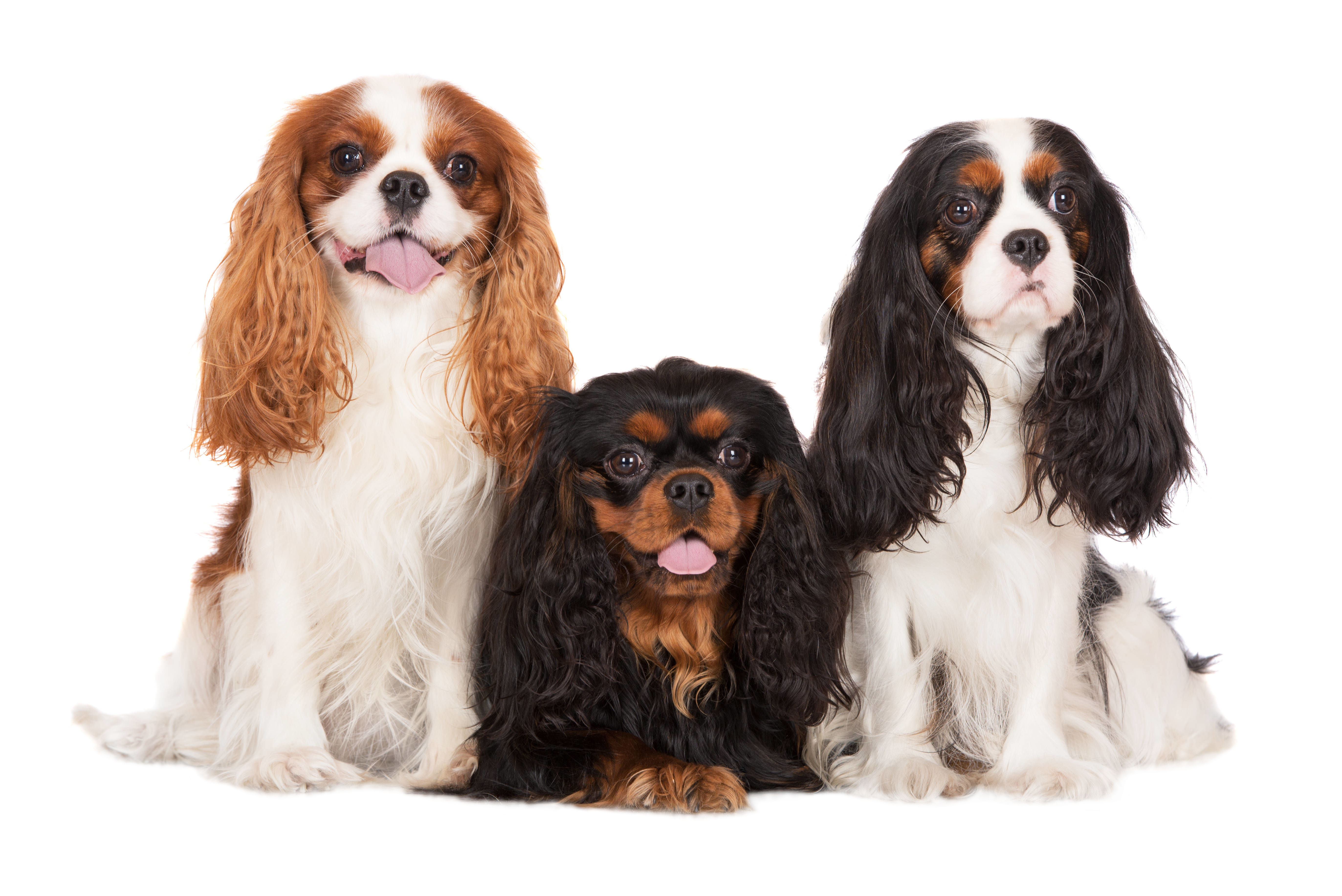 Three Cavalier King Charles Spaniels sitting in front of white background