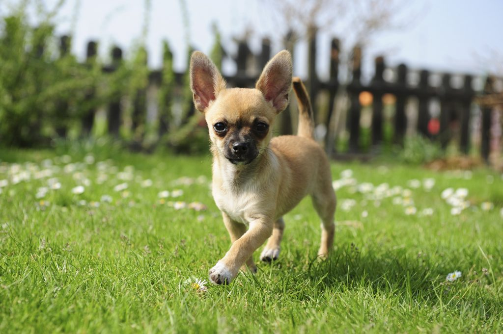 Chihuahua dog walking across a grassy yard with a picket fence in the background.