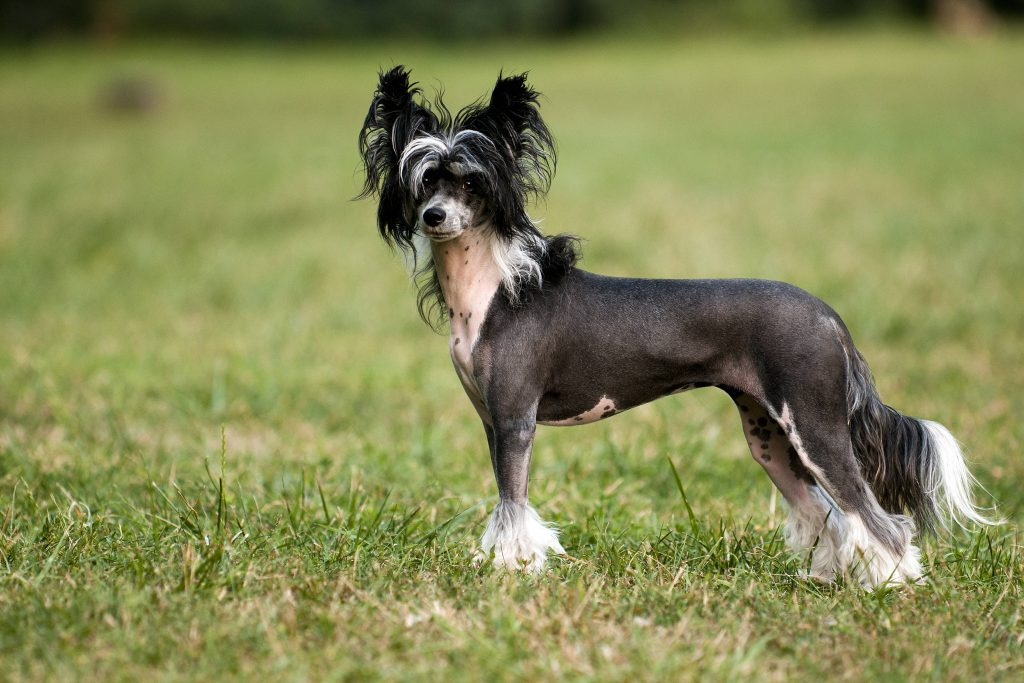 Profile of a Chinese Crested dog standing in grass