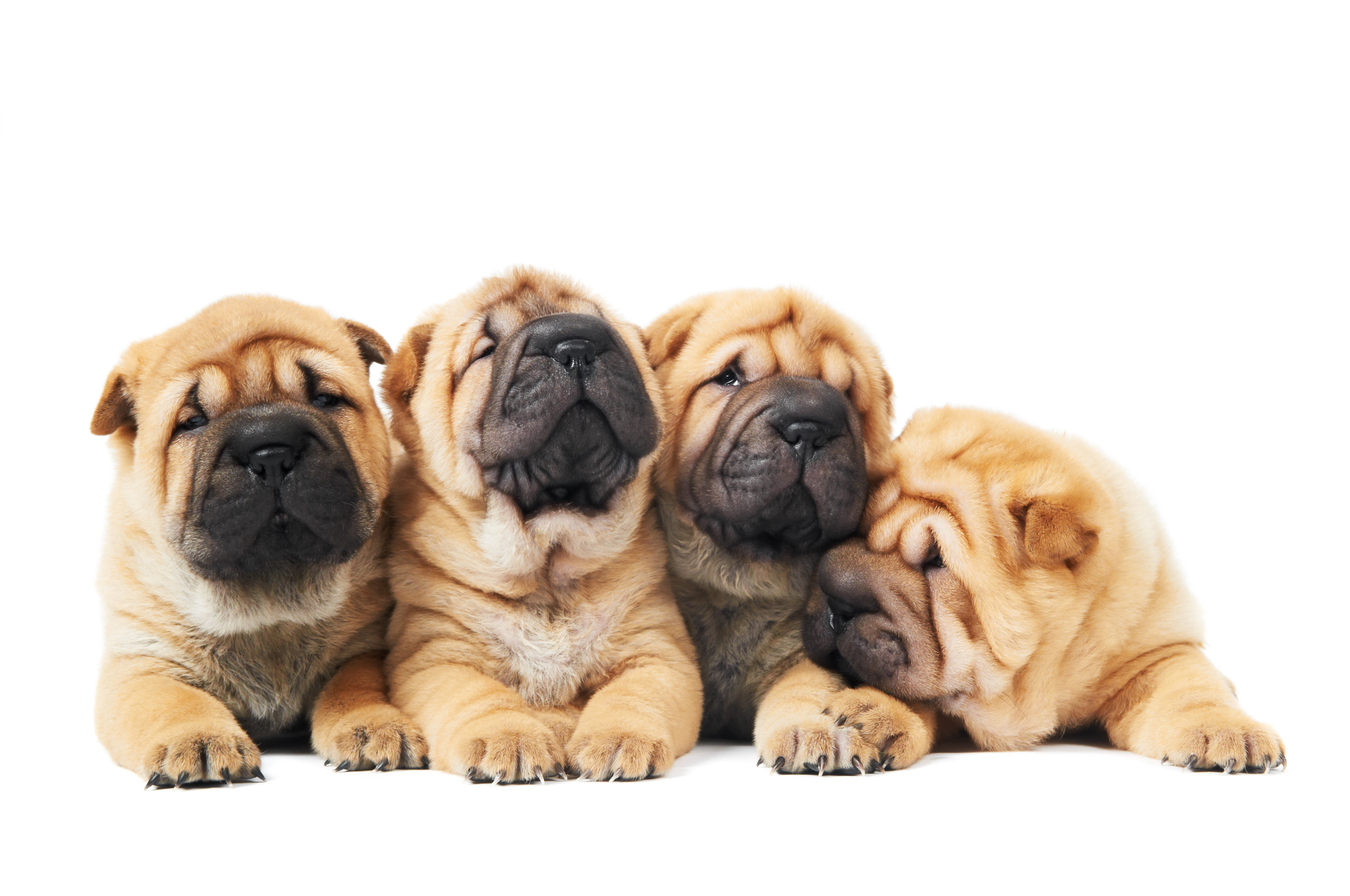 Four Chinese Shar-pei pupppies lying down in front of white background