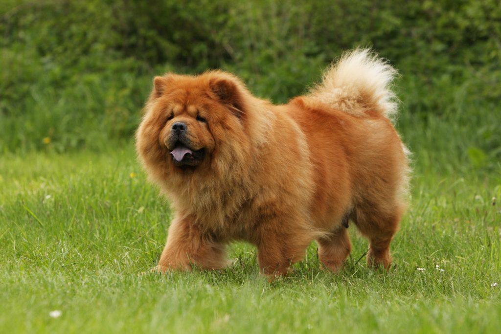 Red Chow Chow dog walking through a grassy yard.