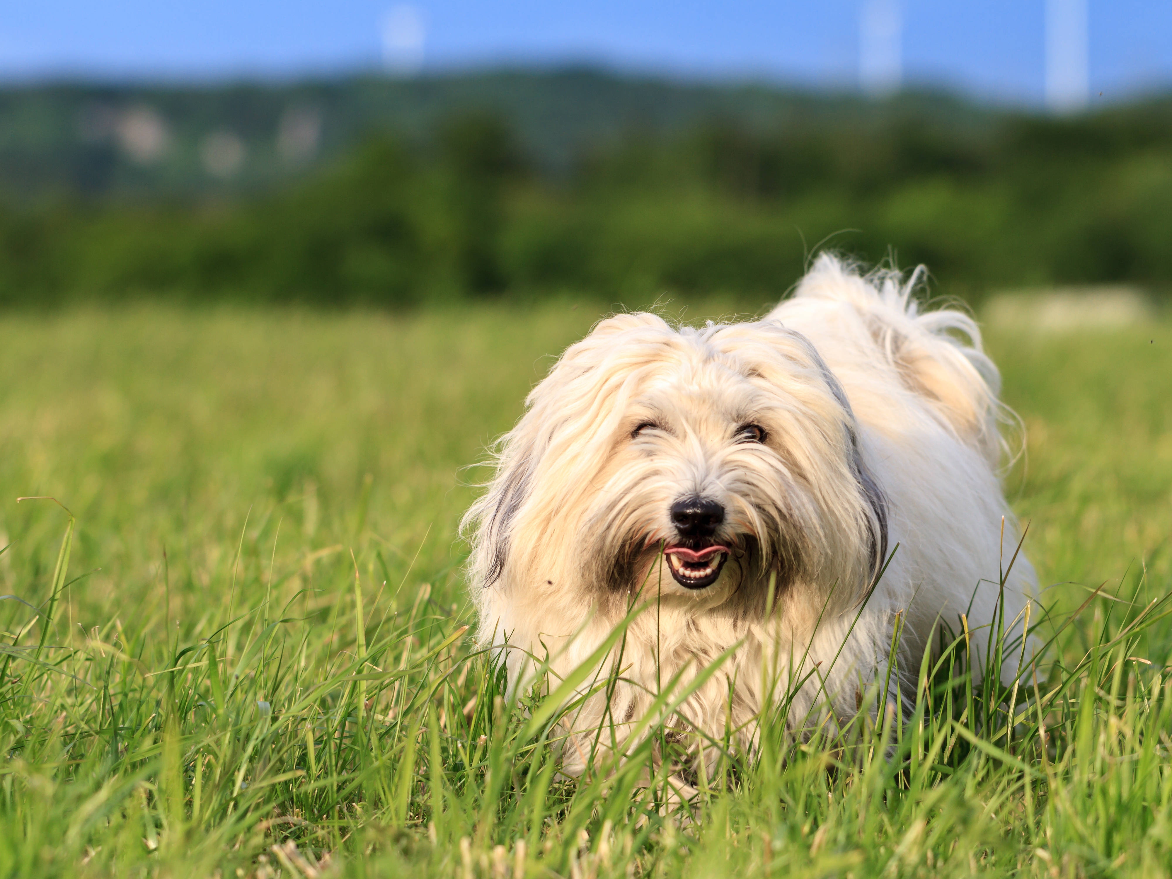 White dog with long hair, running and playing in a meadow. Adult Coton de Tulear Breed