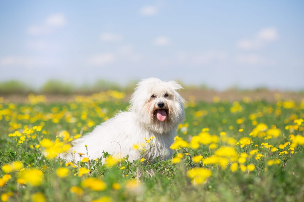 Coton de Tulear dog sitting with tongue out in a field of yellow flowers