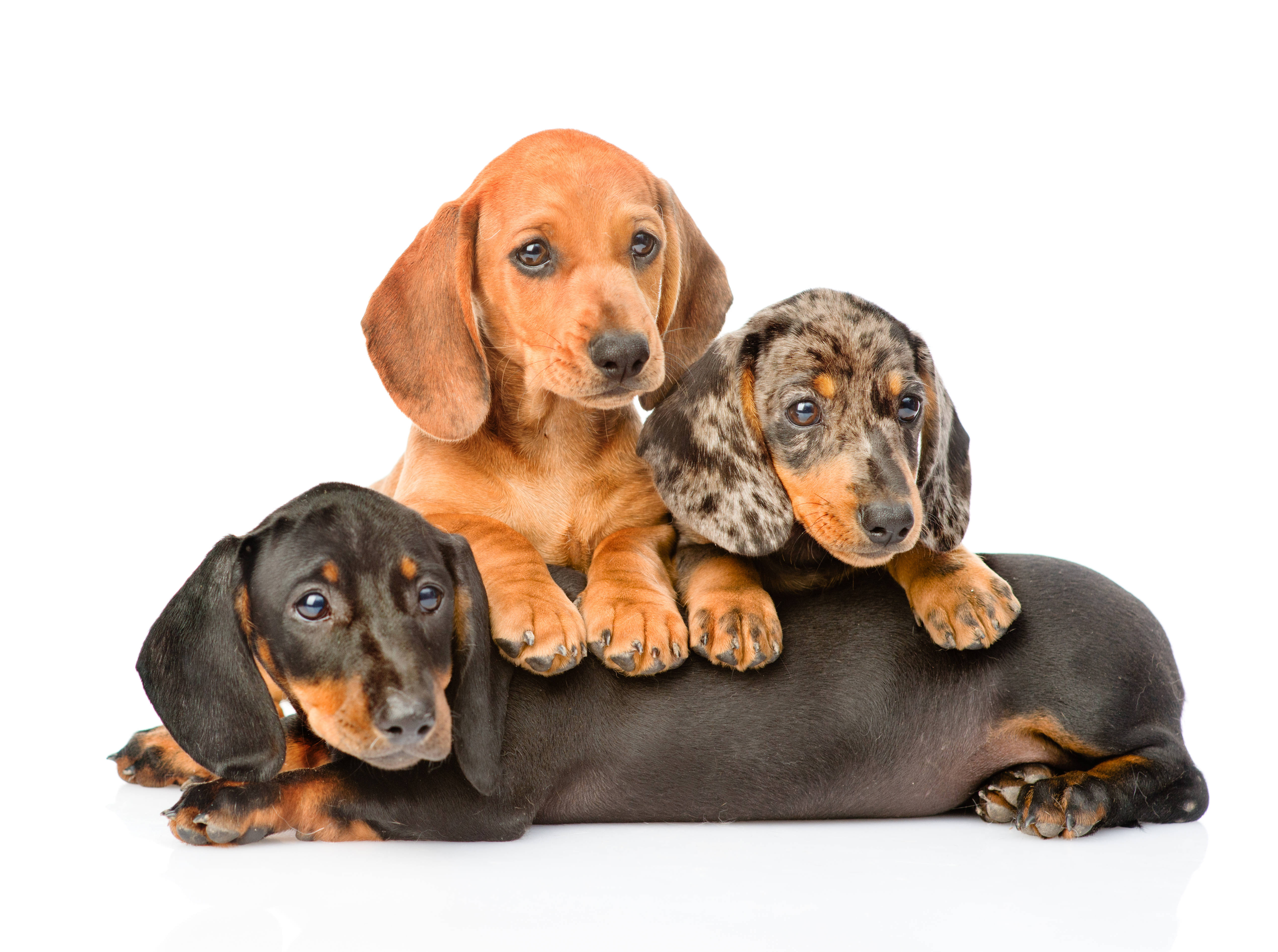 Three Dachshunds in front of a white background