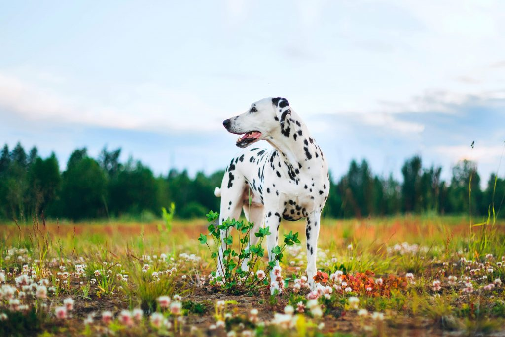 Adult dalmatian dog standing in field of flowers with forest in the background