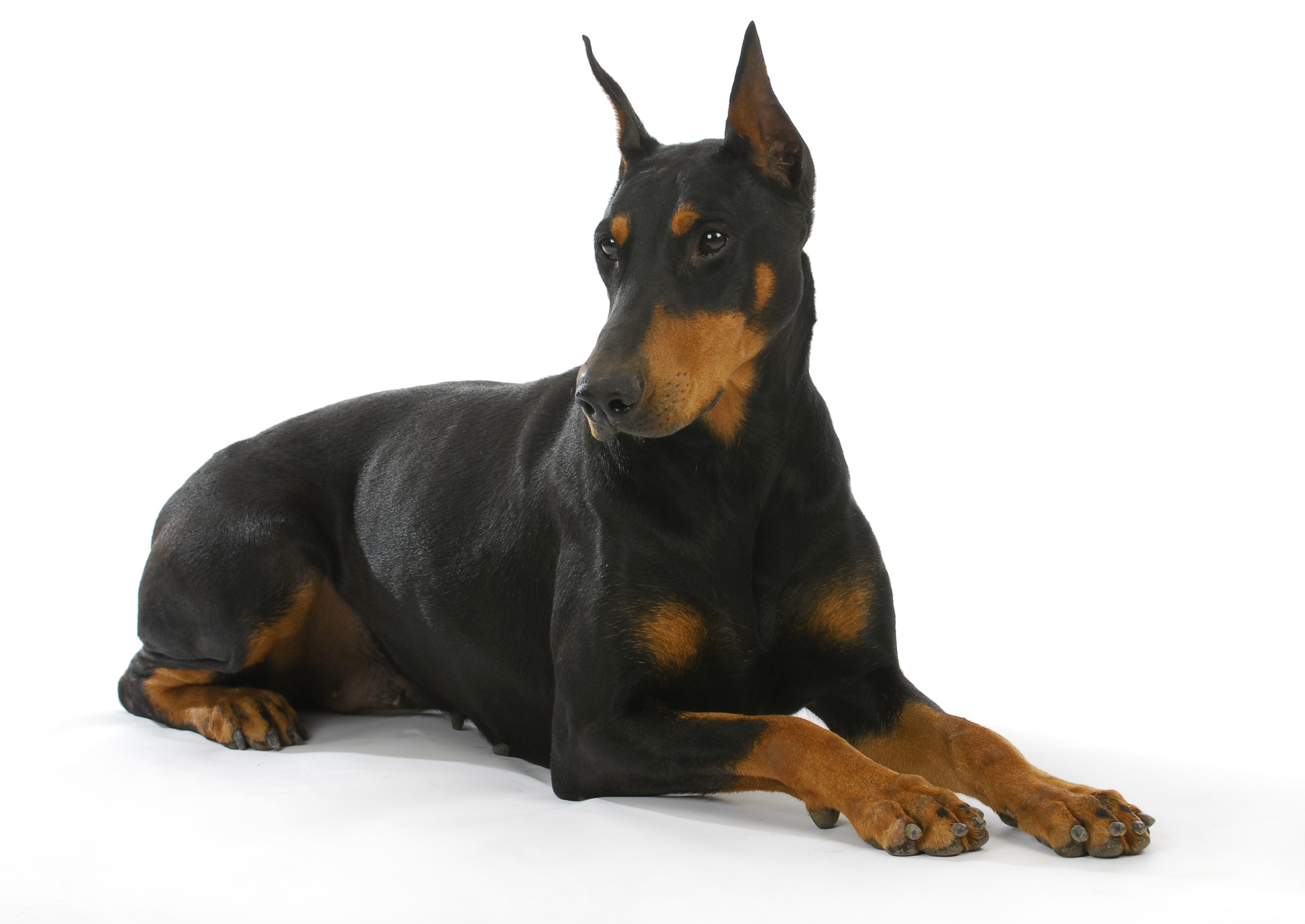 Doberman Pinscher with cropped ears lying down in front of white background
