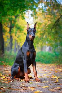 A Doberman Pinscher sitting on a trail in the woods