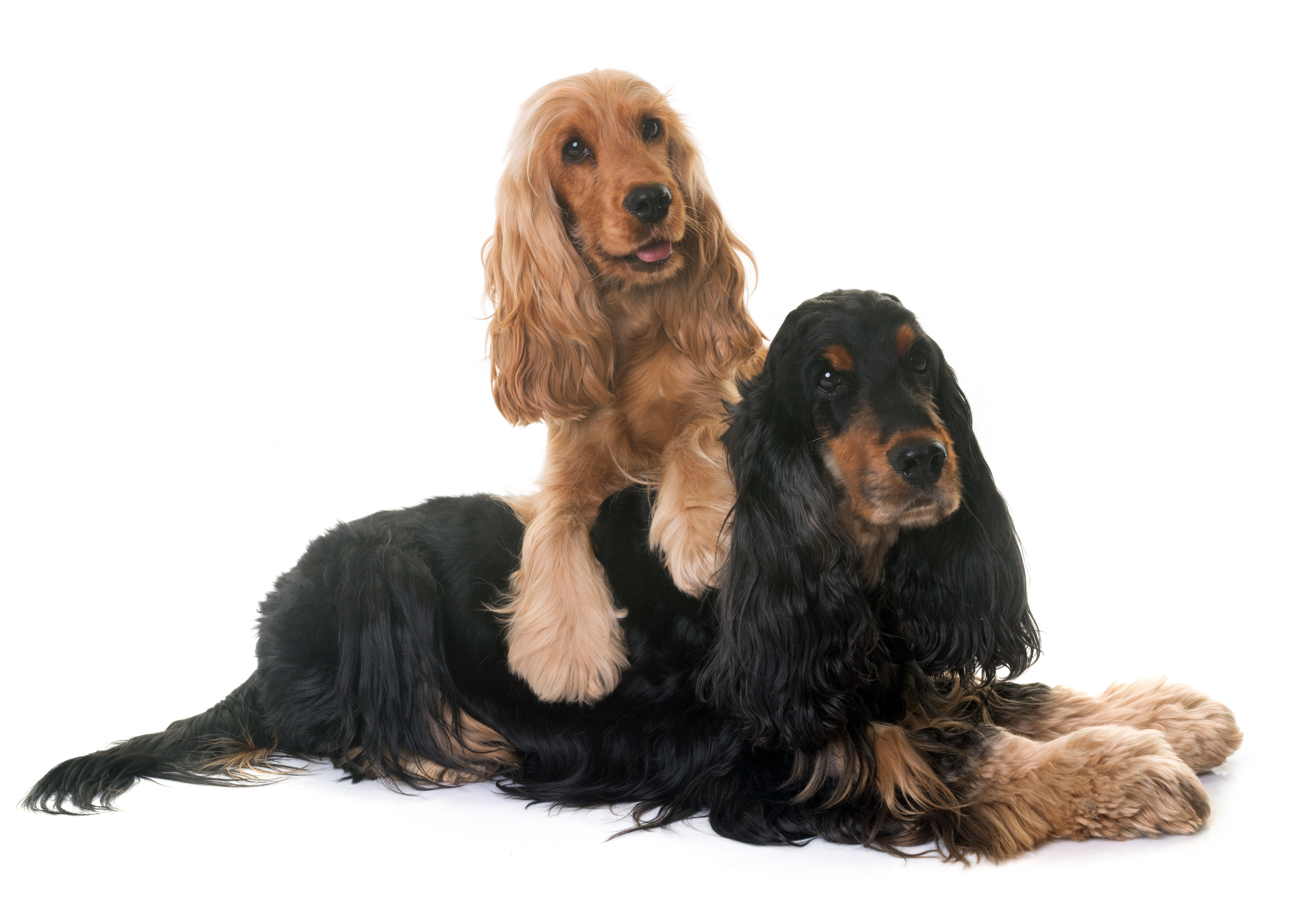 Two English Cocker Spaniels in front of white background