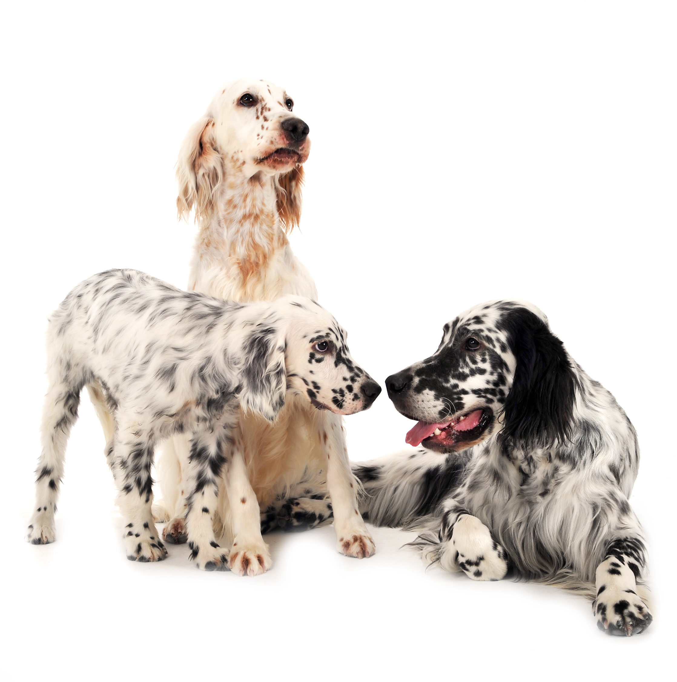 Three English Setters (two adults and one puppy) in front of a white background