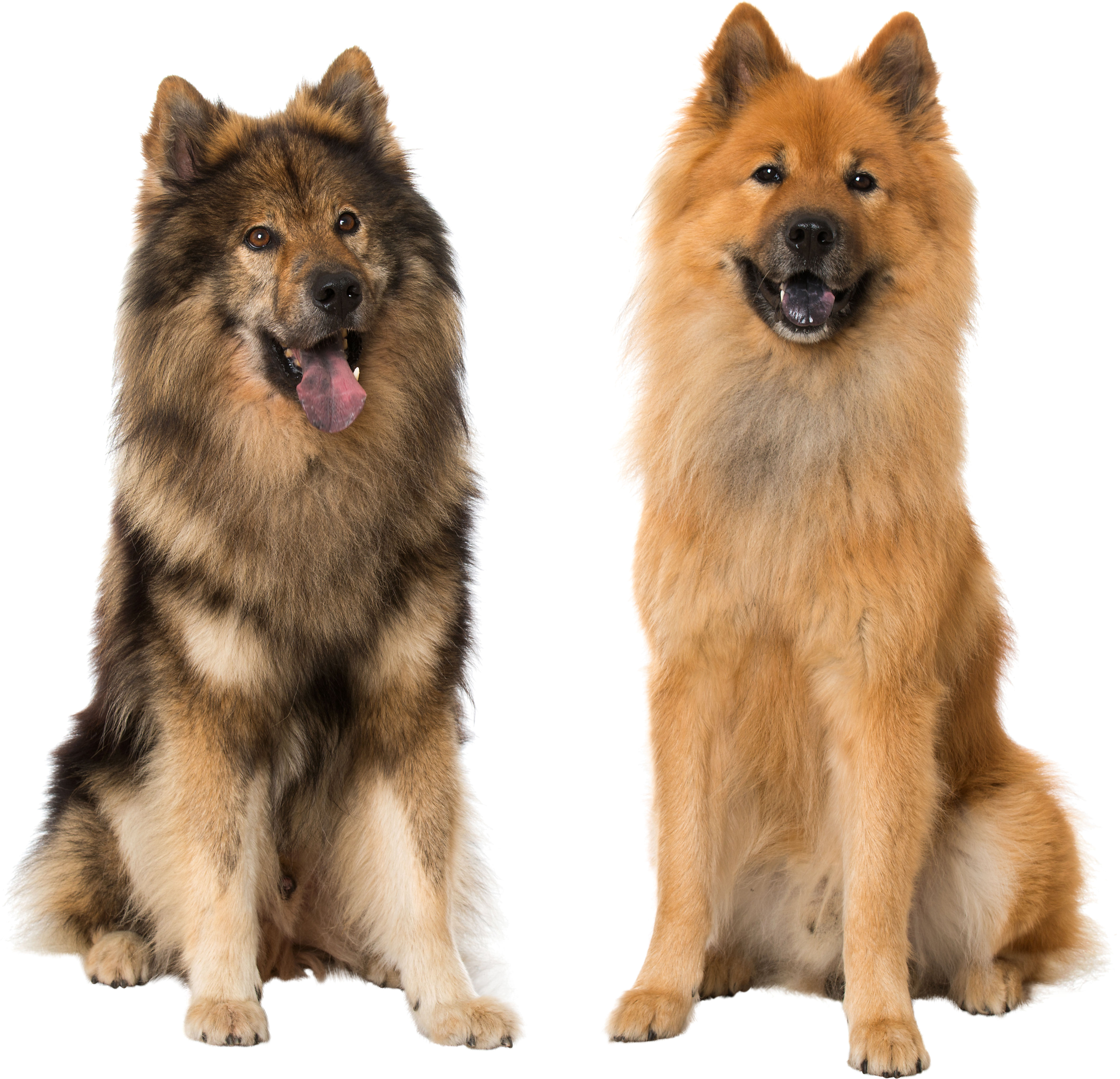 Two Eurasier dogs sitting in front of white background
