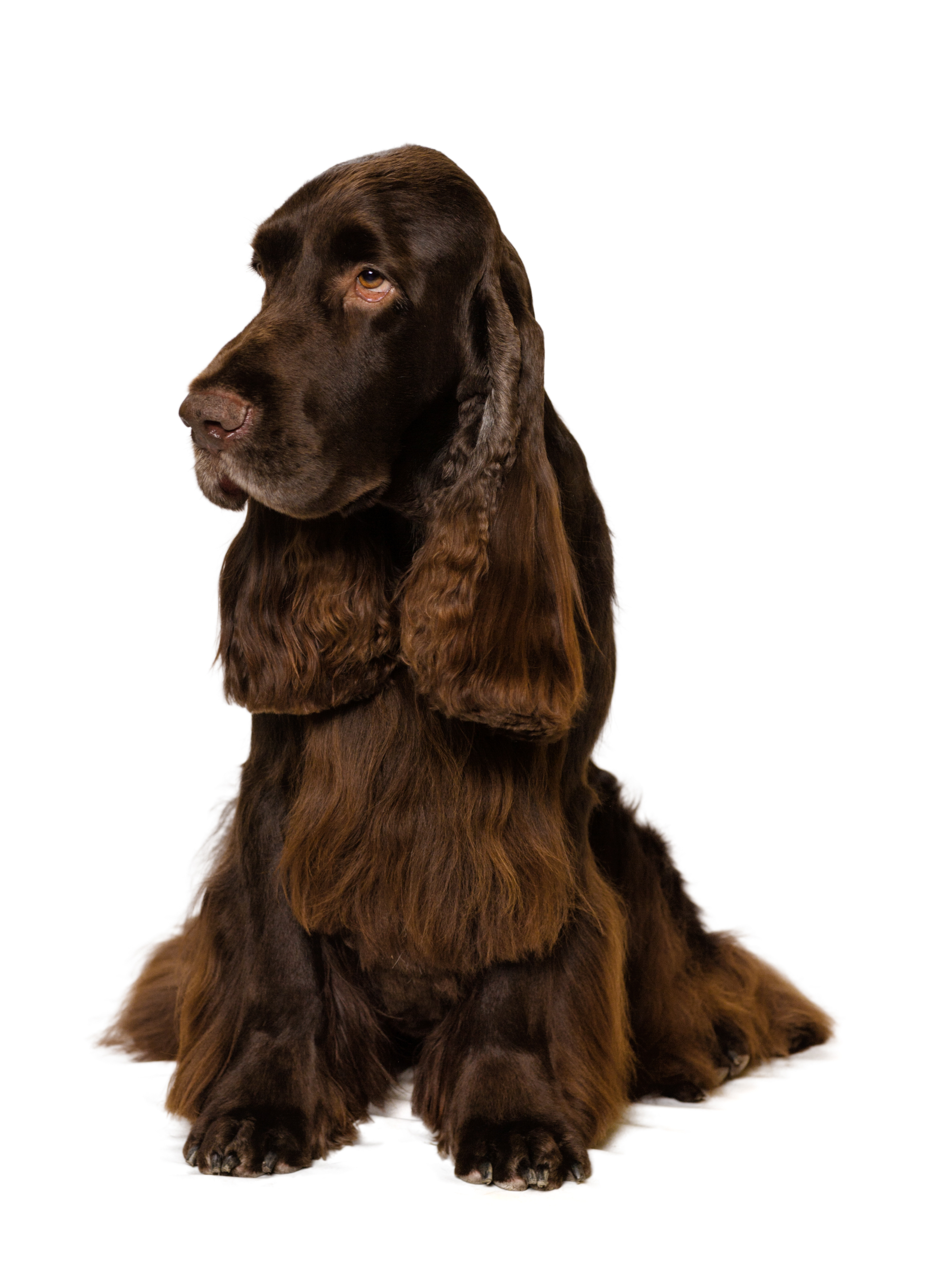 Field Spaniel sitting in front of a white background