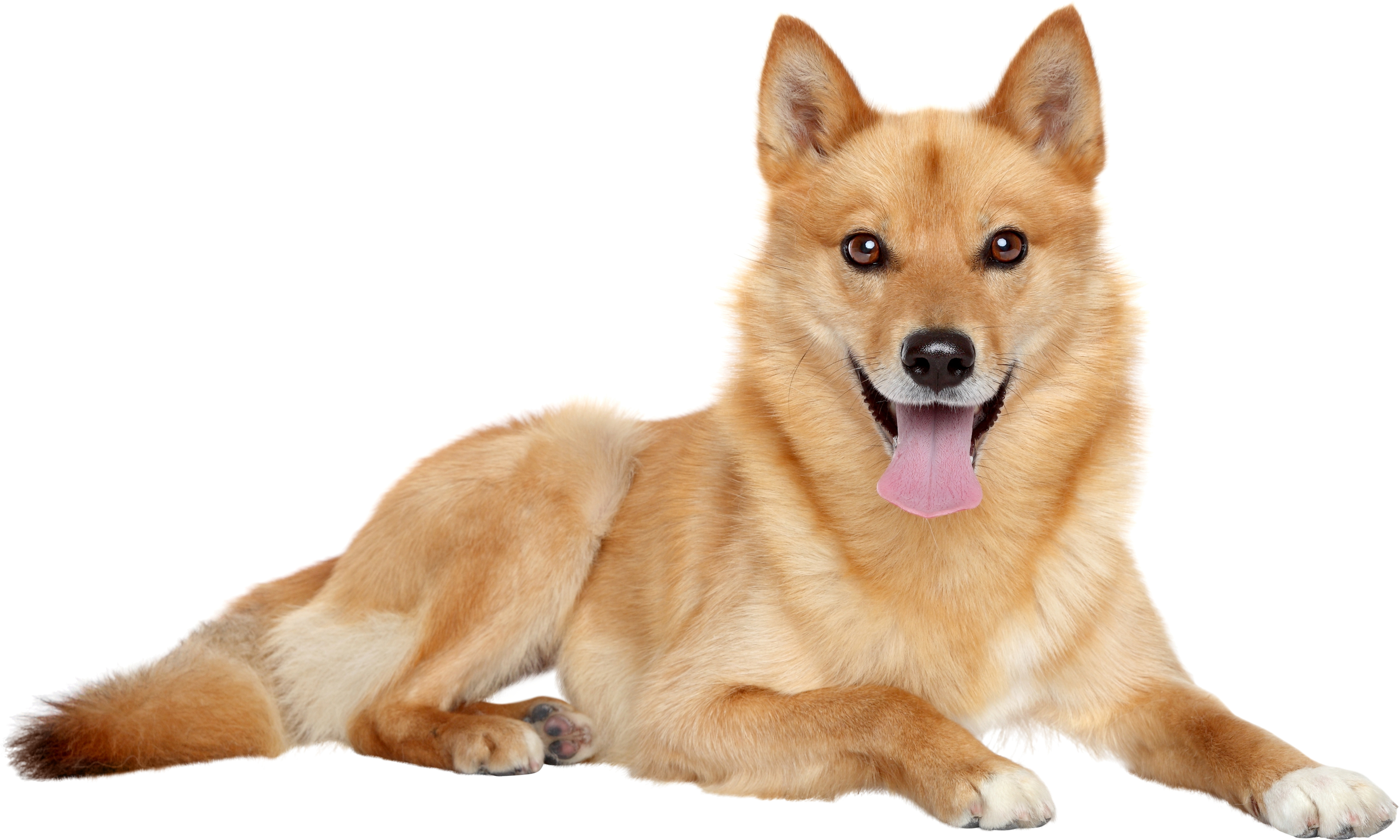 Finnish Spitz lying down in front of white background