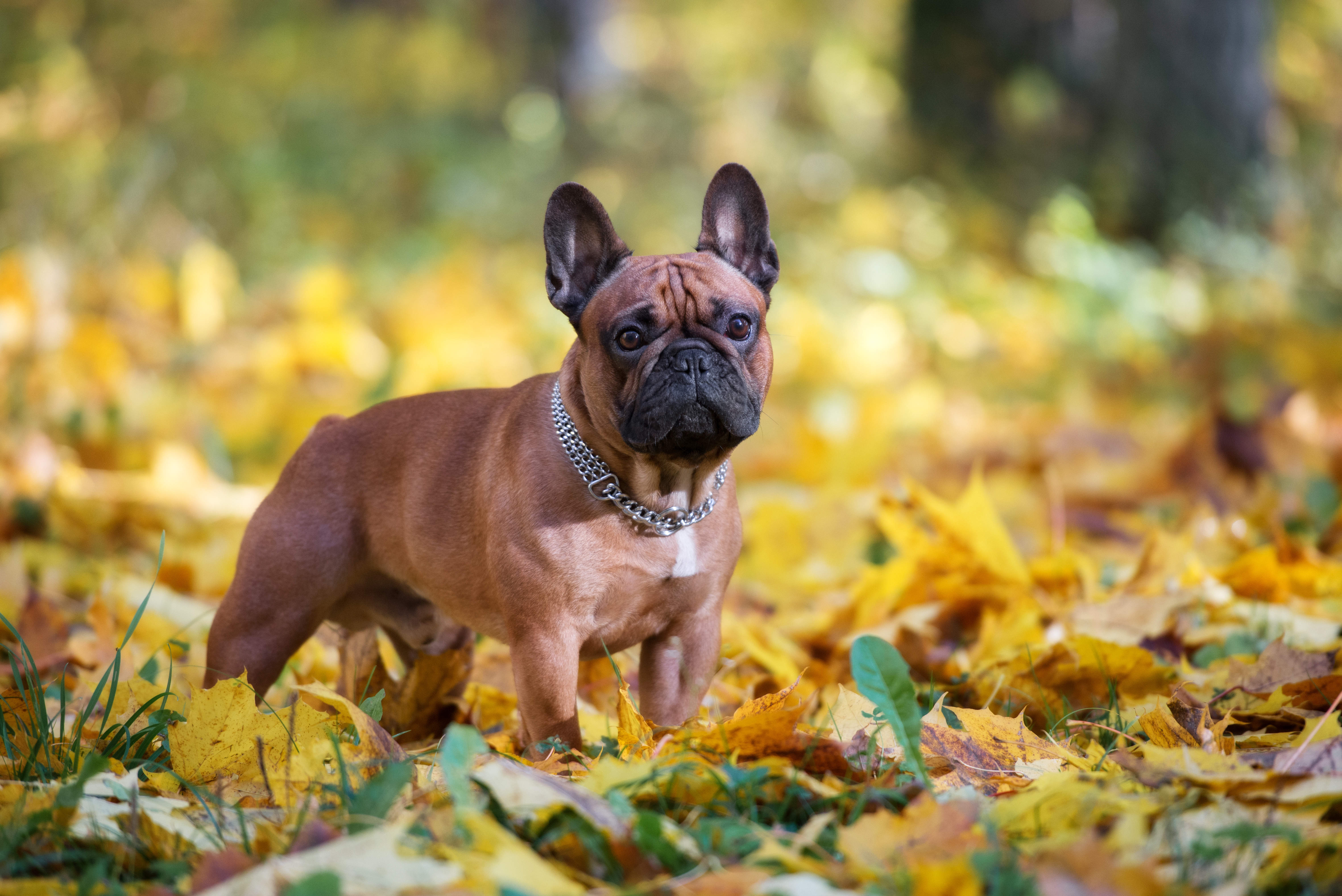 Brown French Bulldog standing in fallen yellow leaves in the forest.
