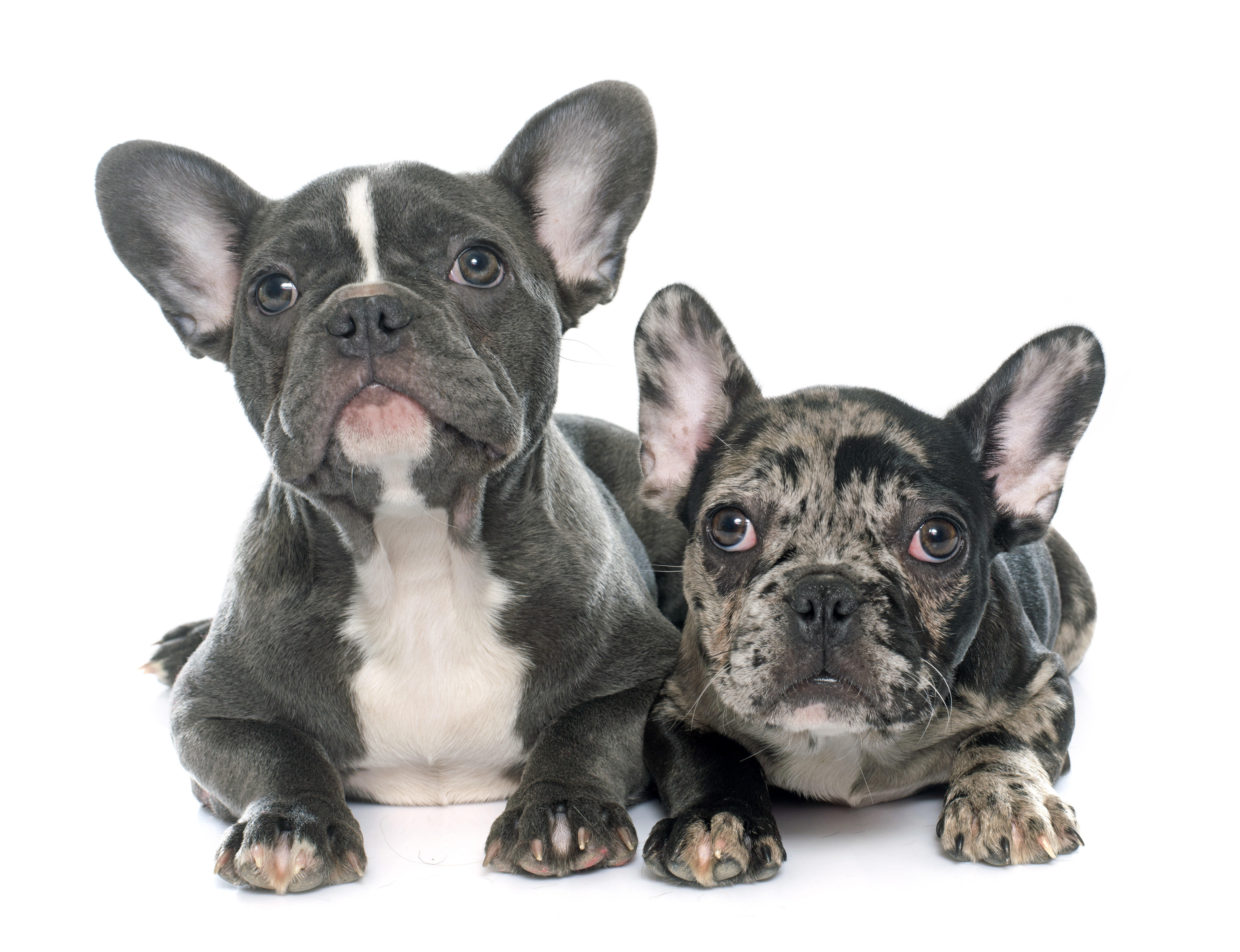 Two French Bulldog puppies lying down in front of white background